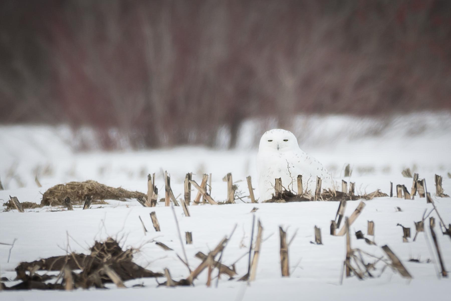 A snowy owl blends in perfectly with it's surroundings