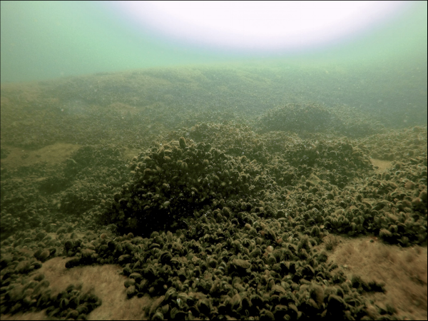 Mussel reefs are among the habitats being monitored by MONICOAST.