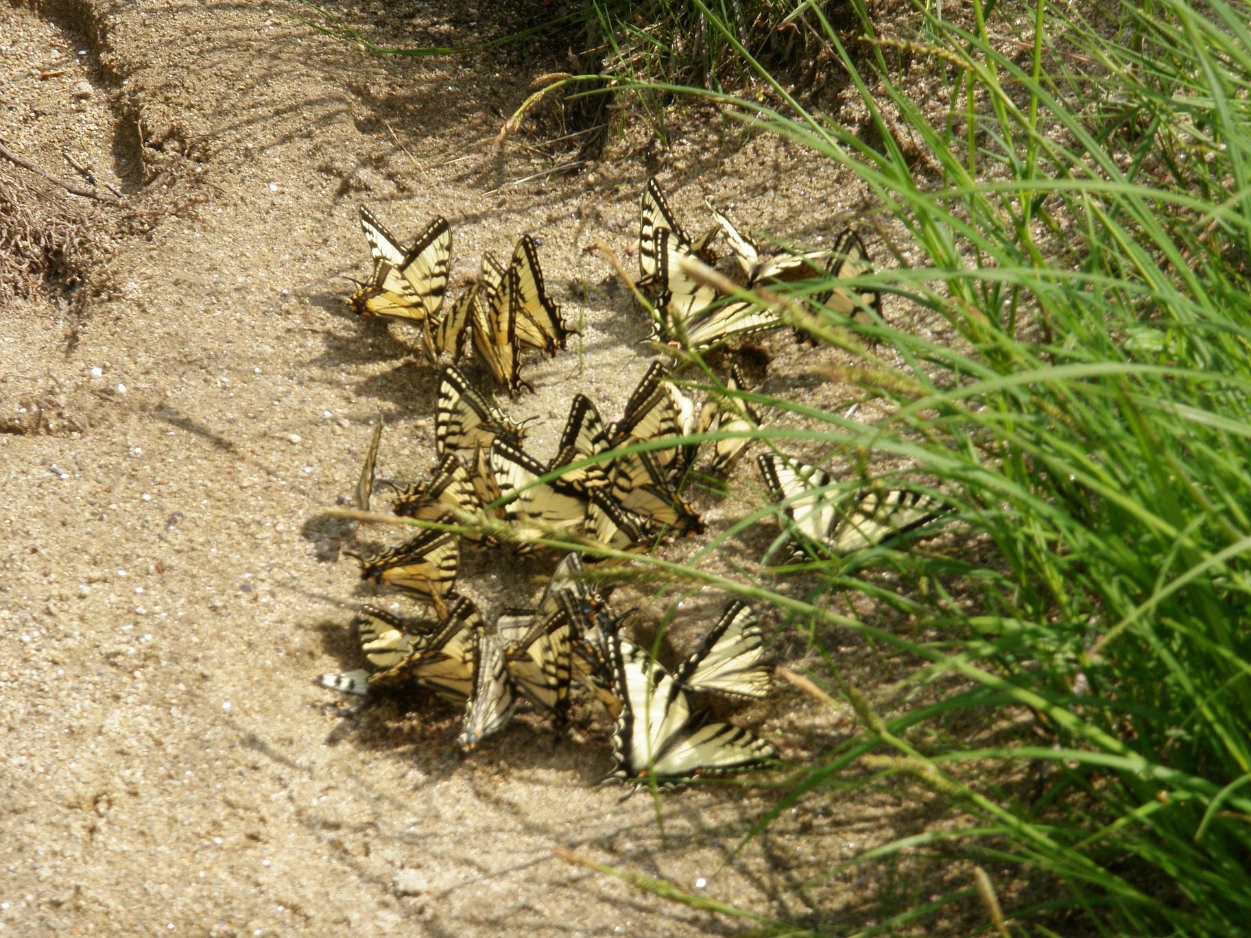 ammobutterflies.jpg