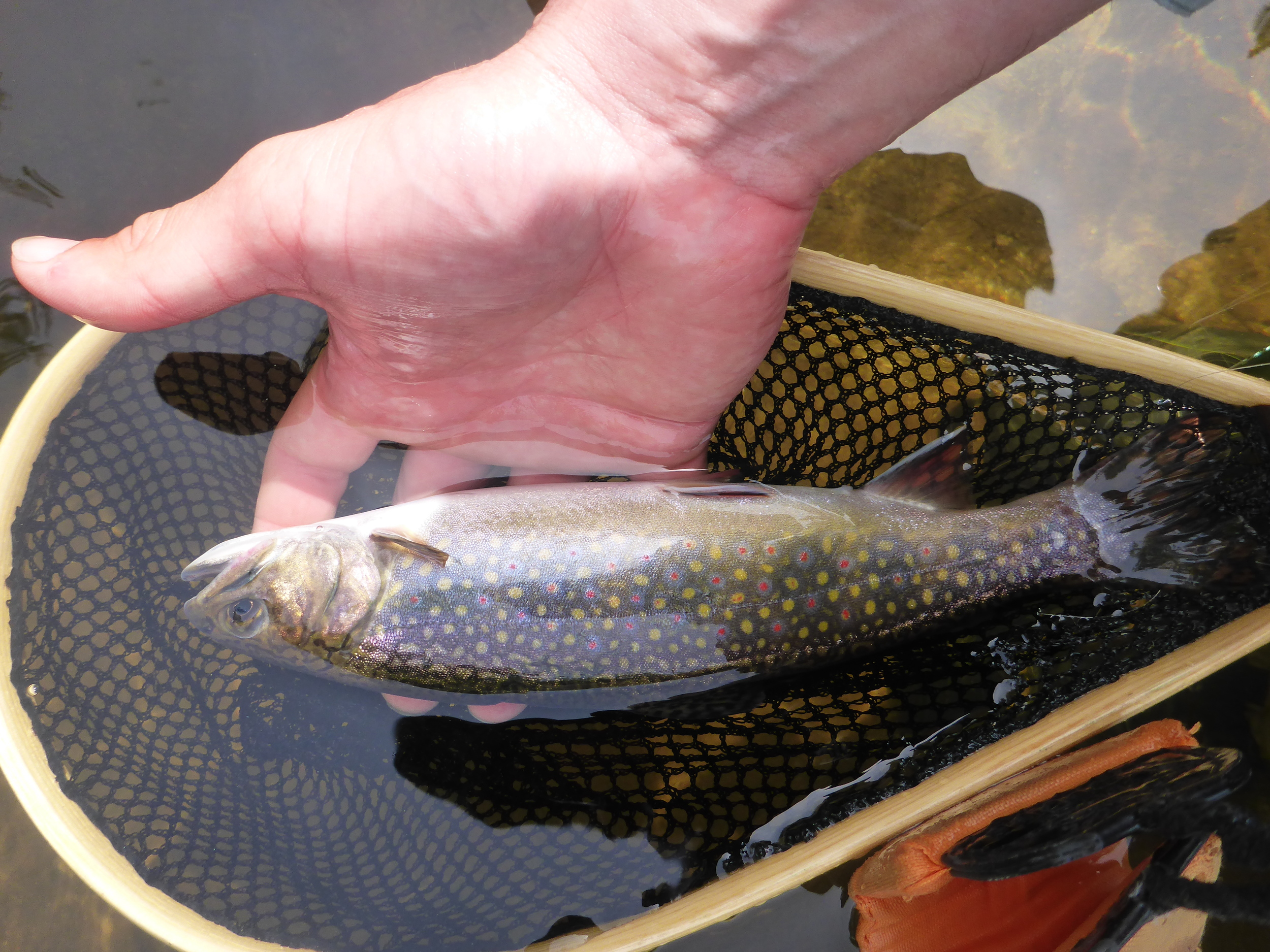 Wild brook trout taken on a large ant.