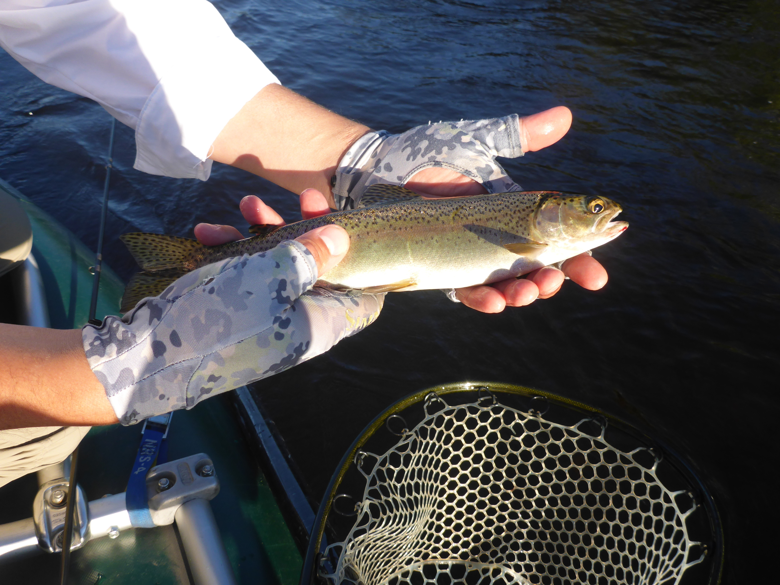 Wild rainbow caught on an iso emerger 8/28. This fish took line on the hookset but we managed to land him. The next fish was much bigger and broke off when she turned directions.
