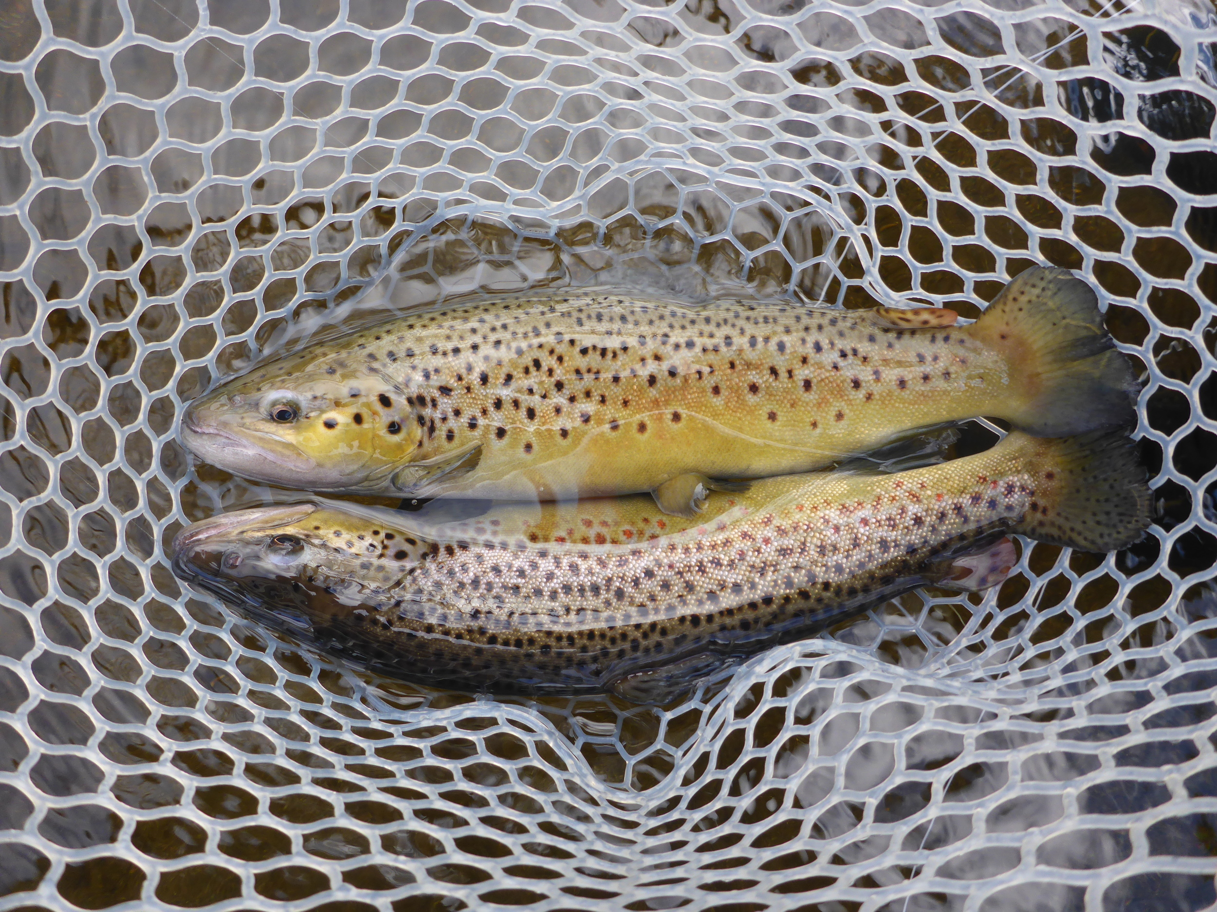 One of many Brown Trout doubles.