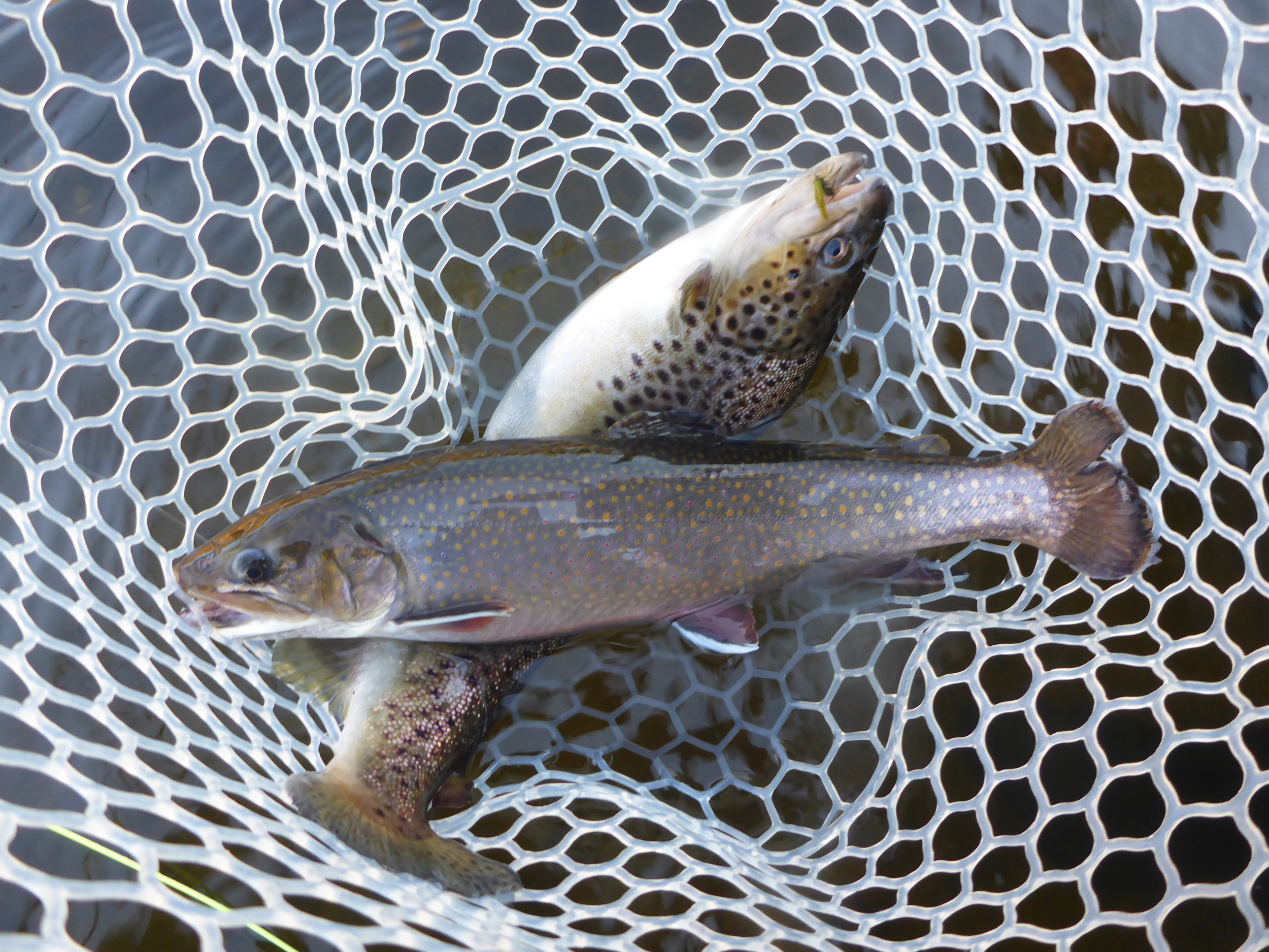 Tiger Trout?