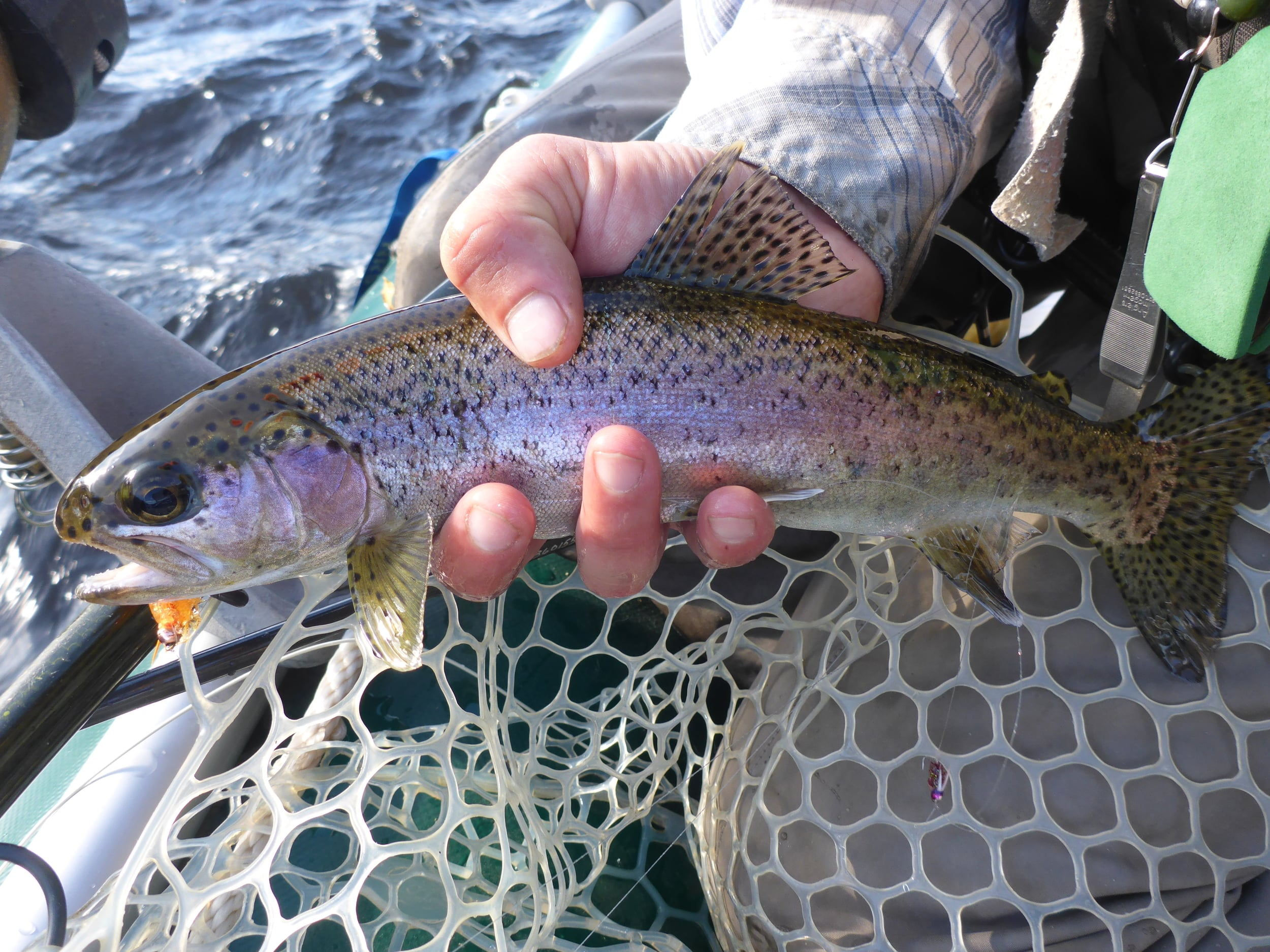 A late season wild Andro Bow taken on a nymph.
