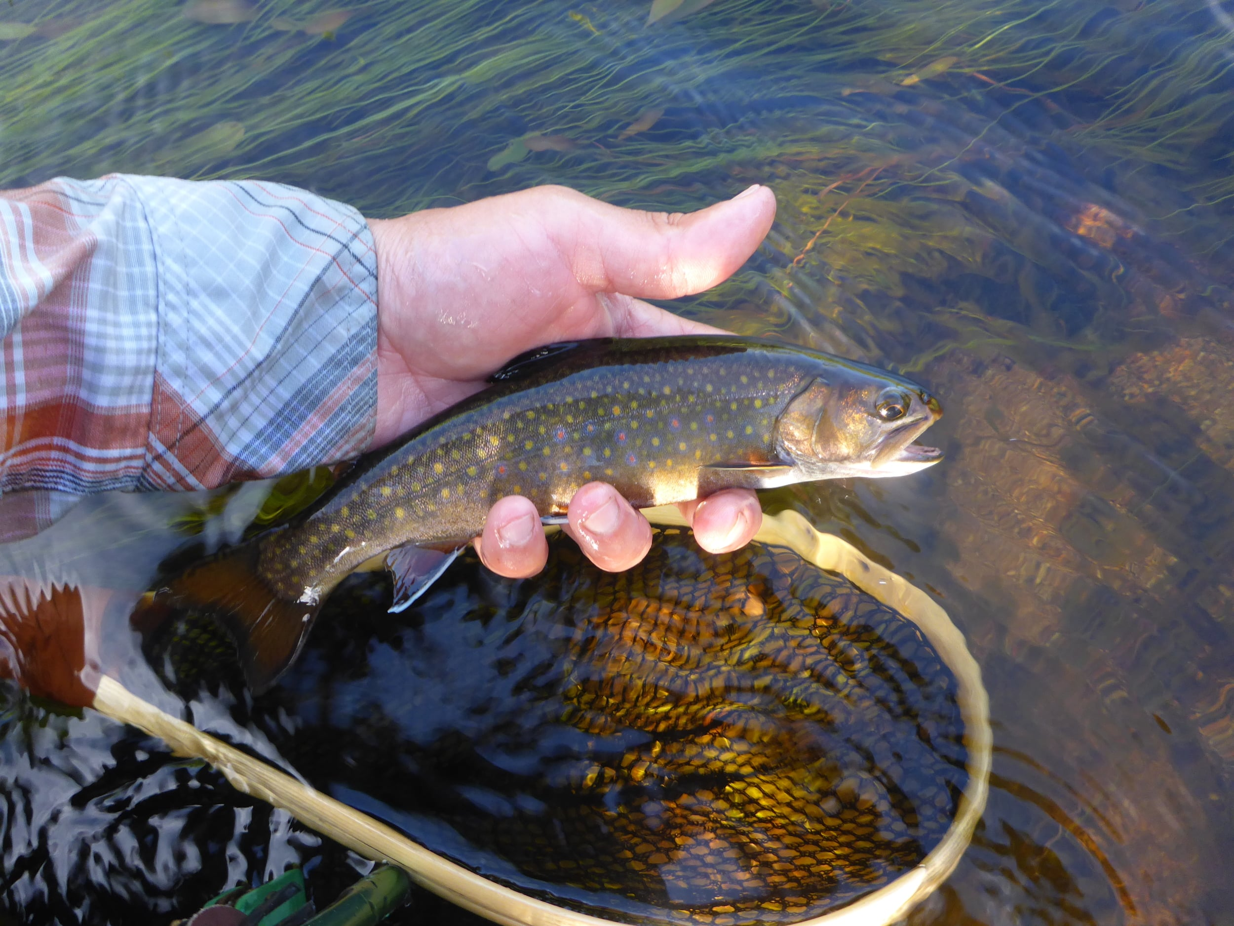 Spring creek brook trout.