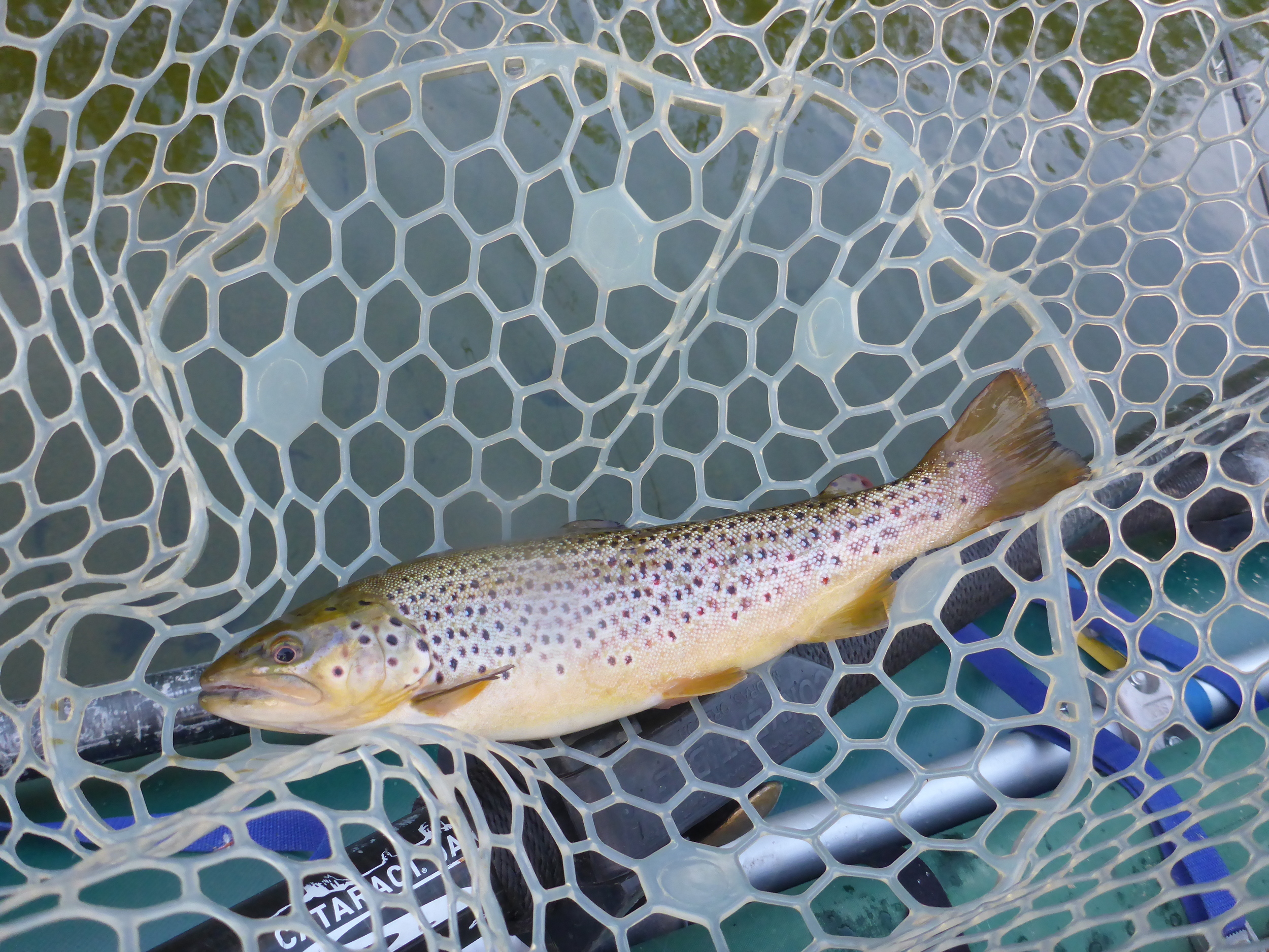 Paul's first trout on a dry fly