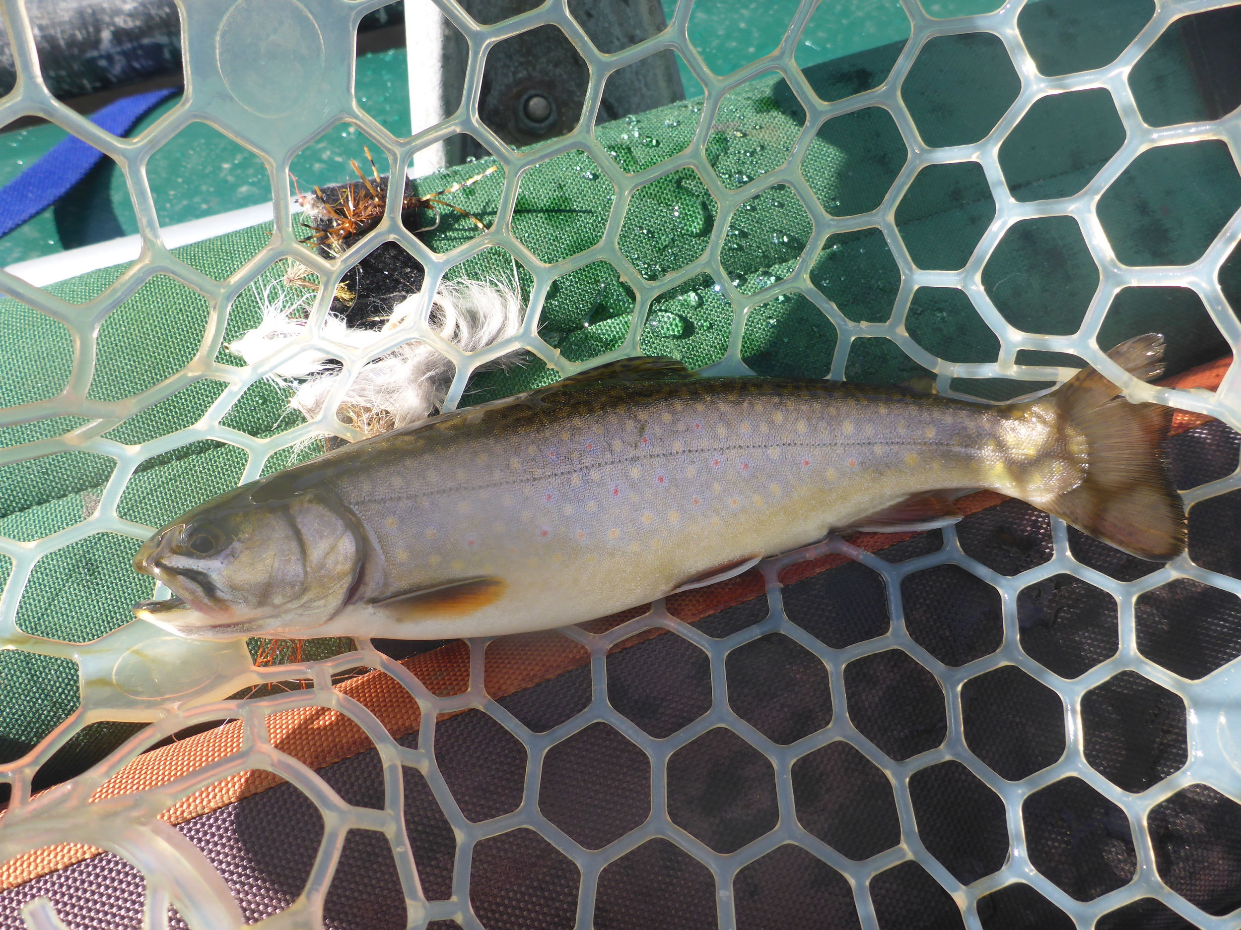 A rare wild brook trout from the Androscoggin