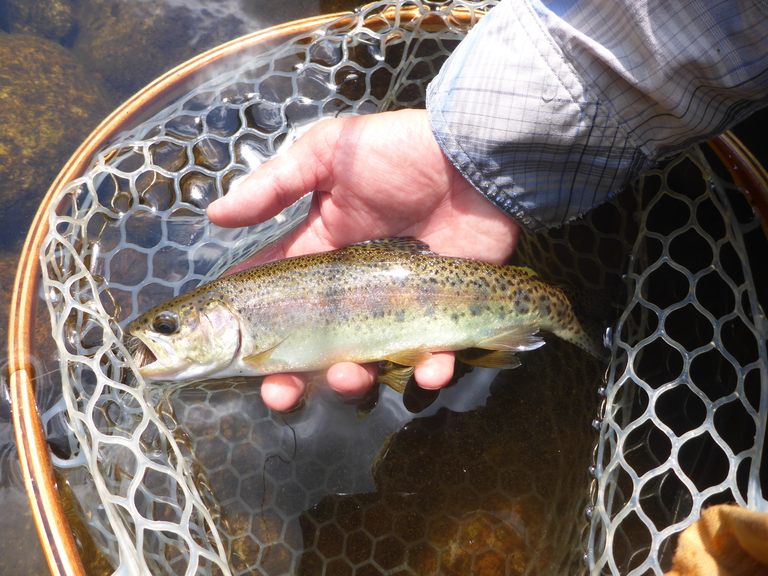 Wild rainbows like this have been common in the small streams this season.