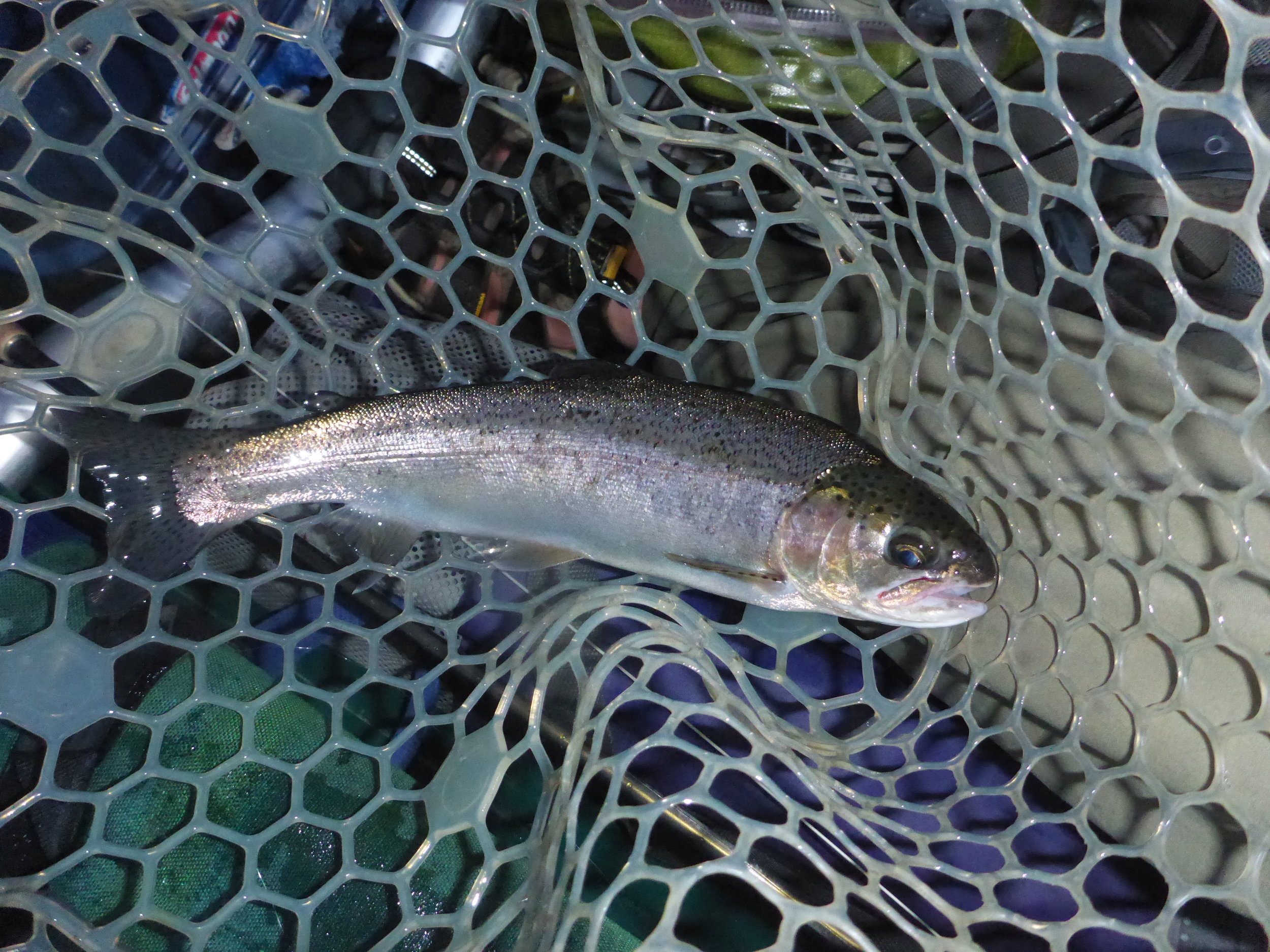 """A 14"""" wild rainbow caught this week by client Richard Johnson.taken on a swung Isonychia nymph."""