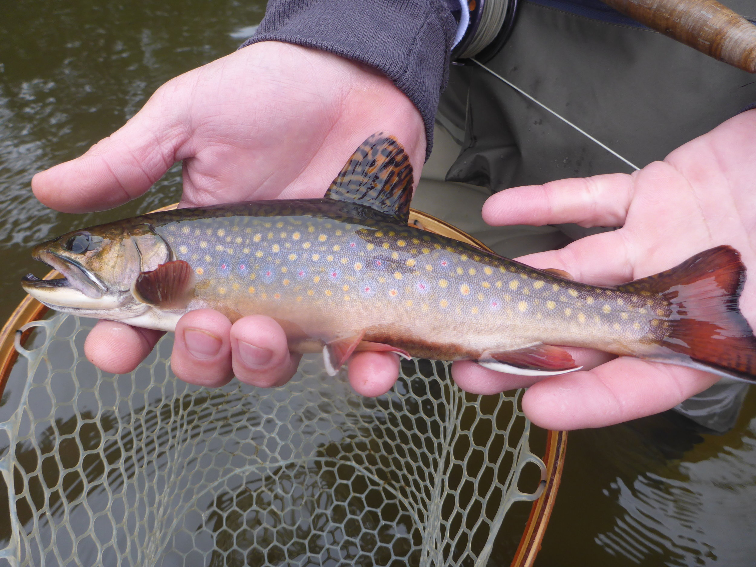 Wild male brook trout caught by client Mike Allen.