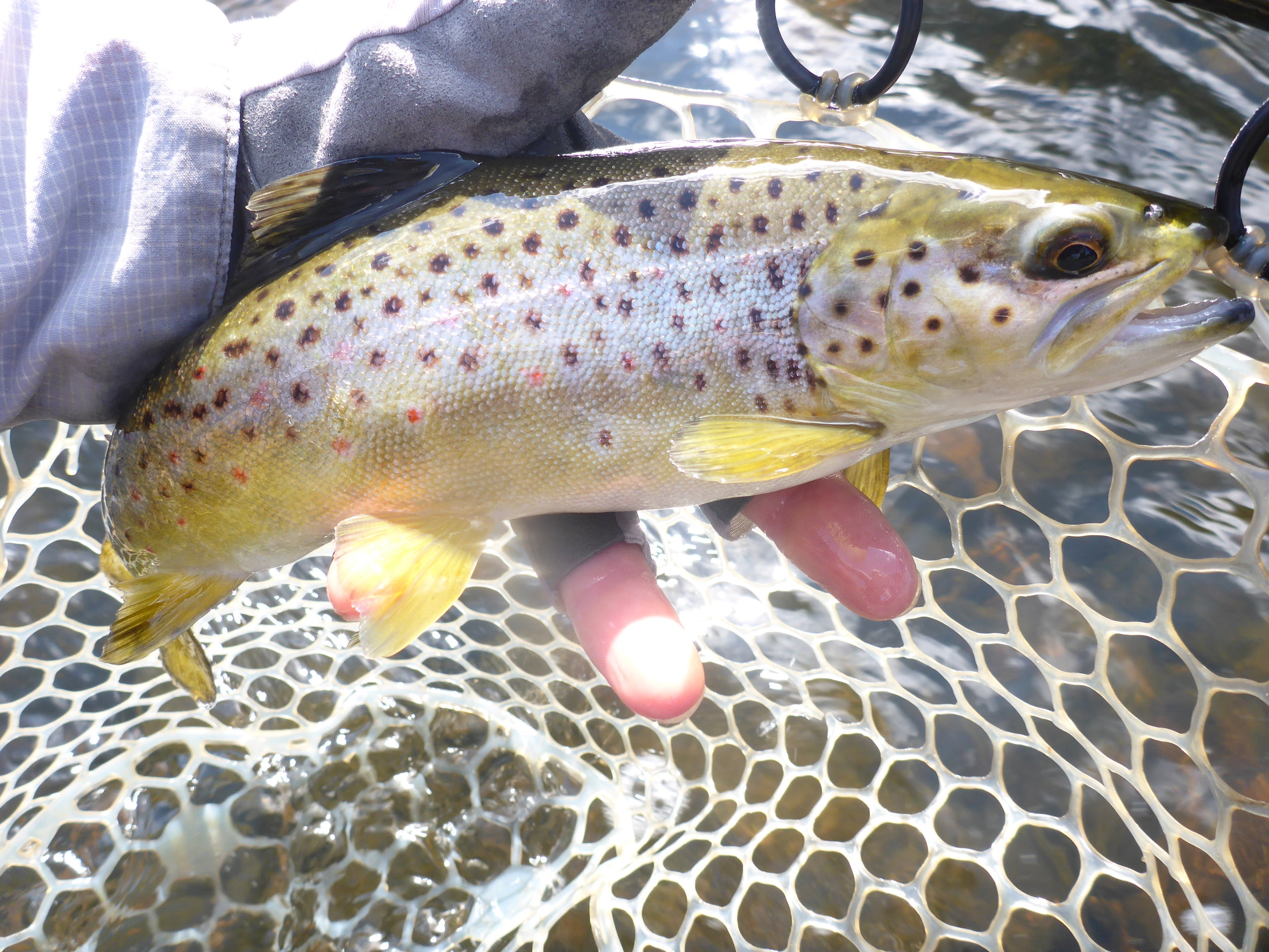 One of four very healthy browns landed yesterday on dries and nymphs.