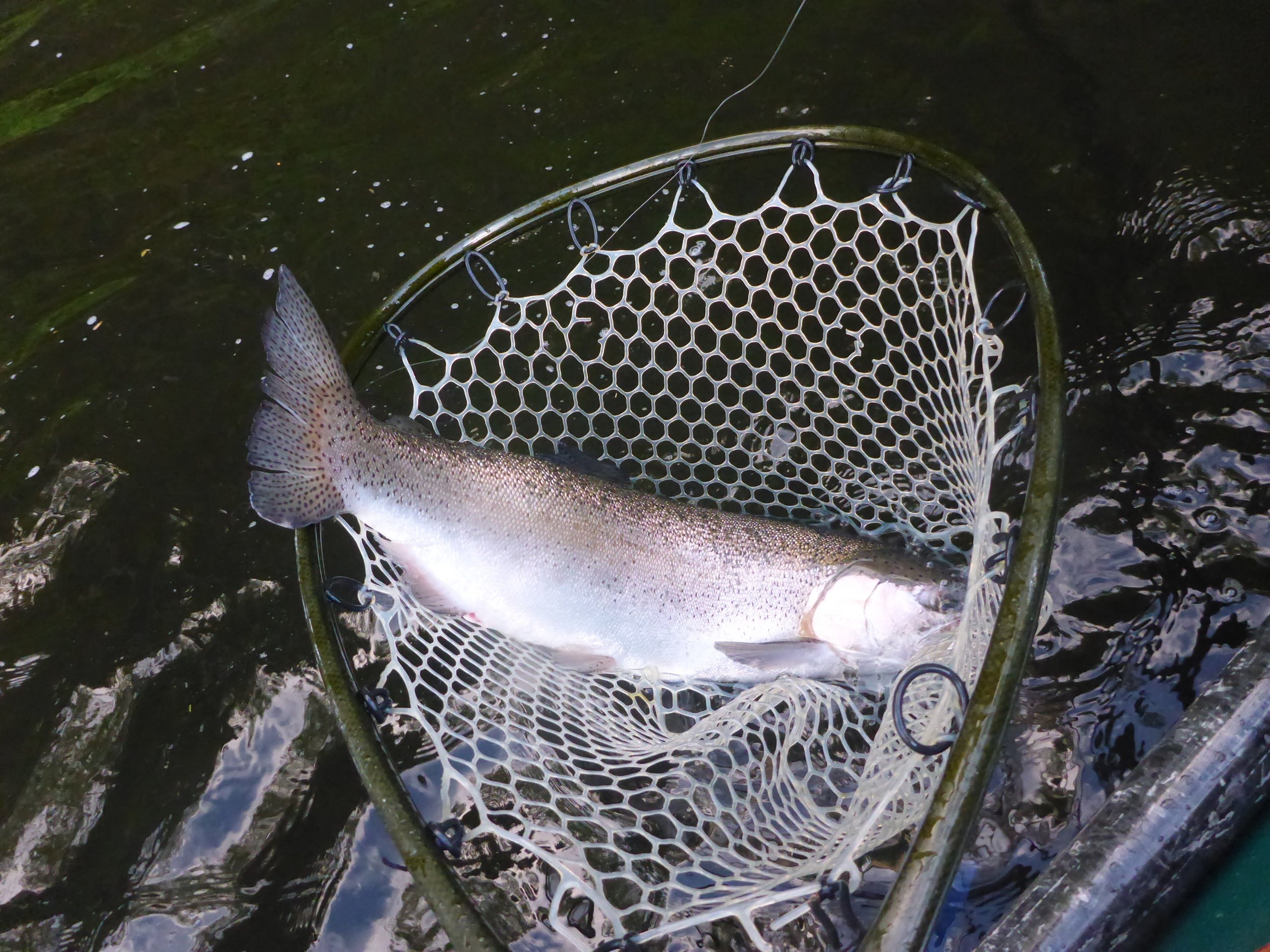 """Massive 28"""" Androscoggin River Rainbow trout taken by client Charlie Houghton during the Alder Fly Hatch June 17th 2016."""