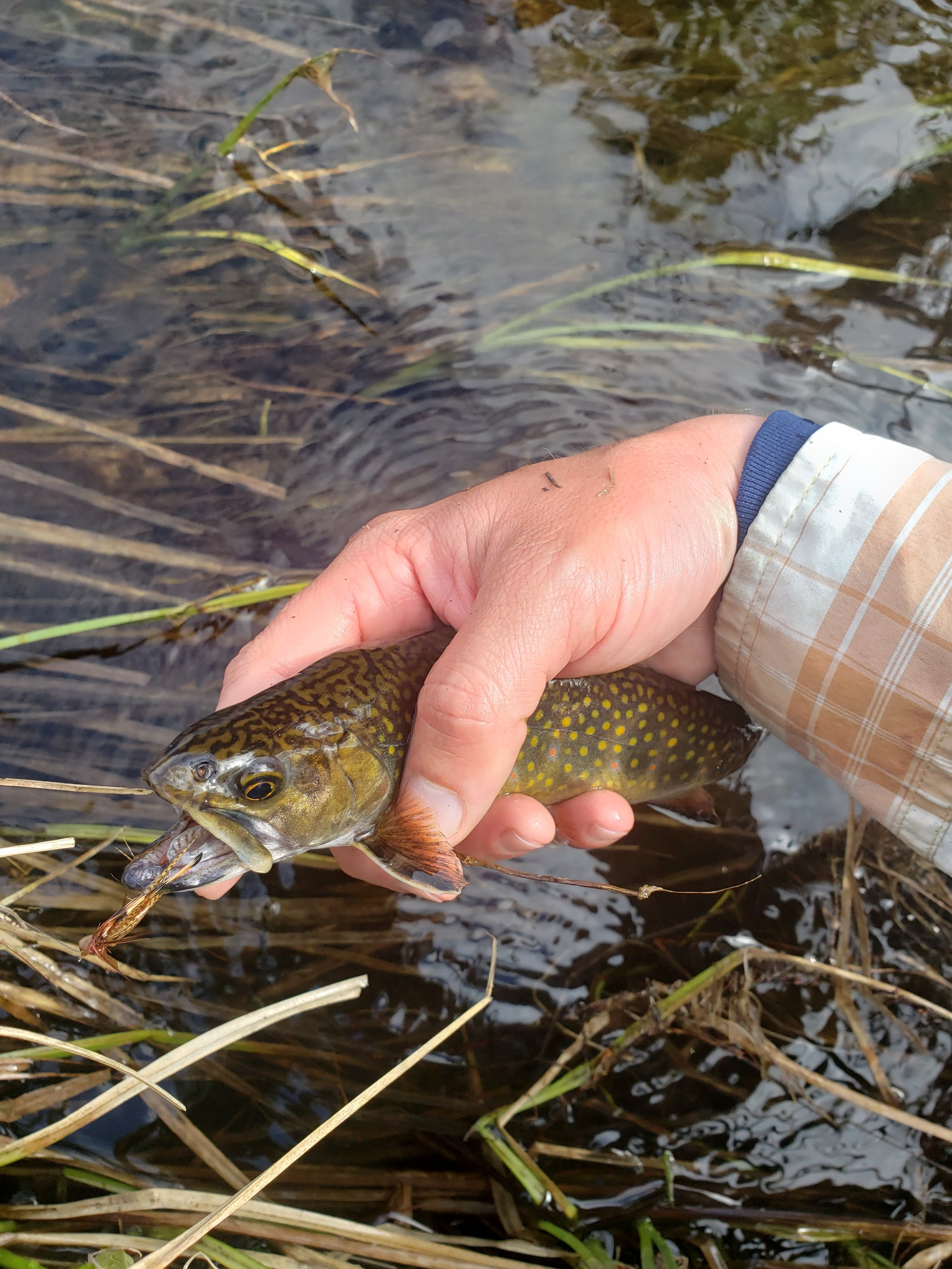 My first wild NH brookie of the season….now's the time to chase these fish.