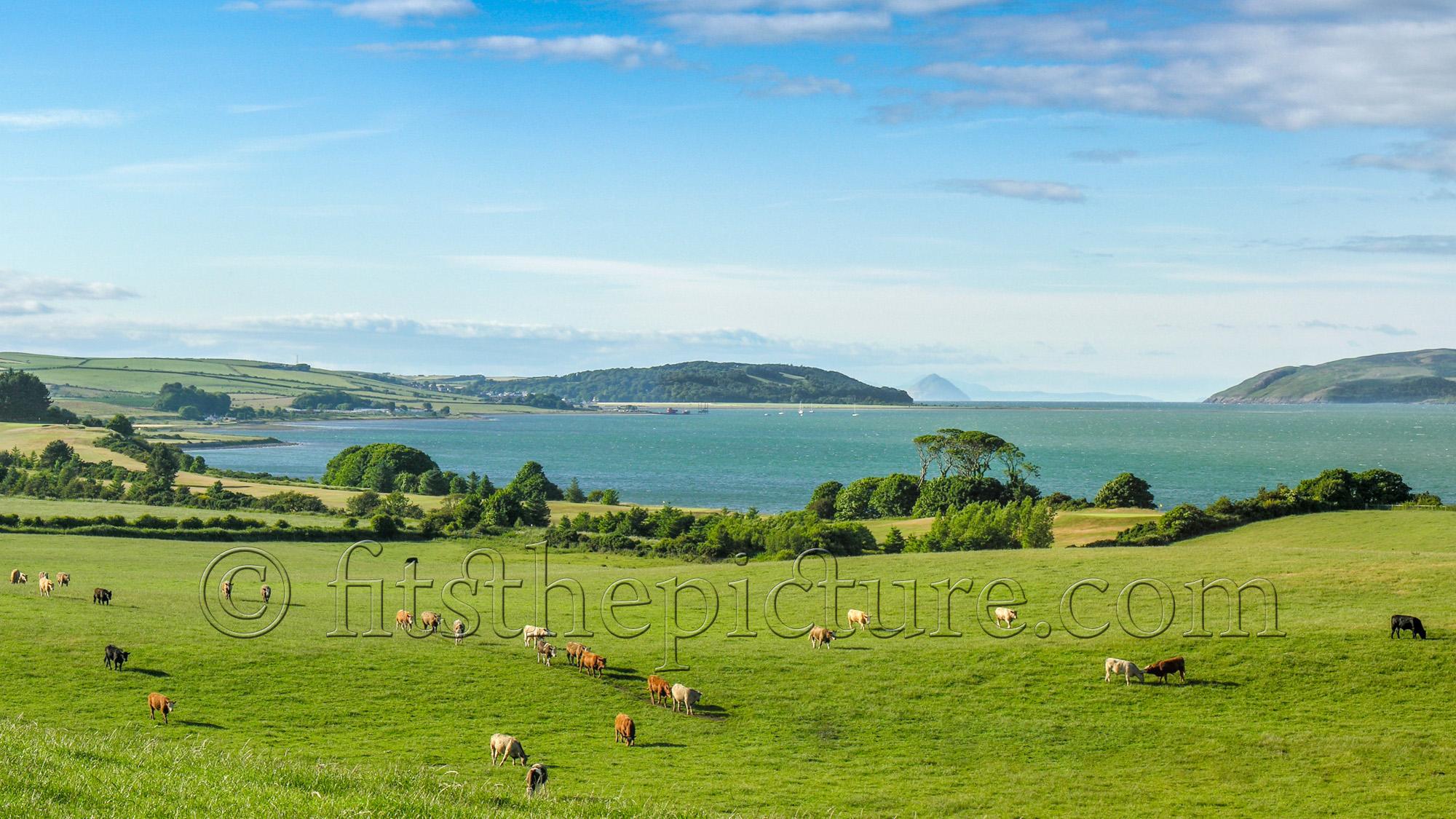 Loch Ryan cattle