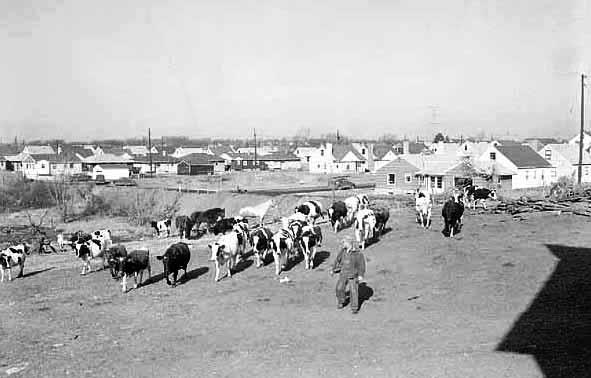 View of ahousing development near a farm in Richfield, Minnesota (1954).  Photo courtesy of Minnesota Historical Society.