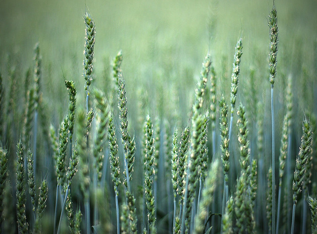 Image of a field of oats with a blue and green filter.