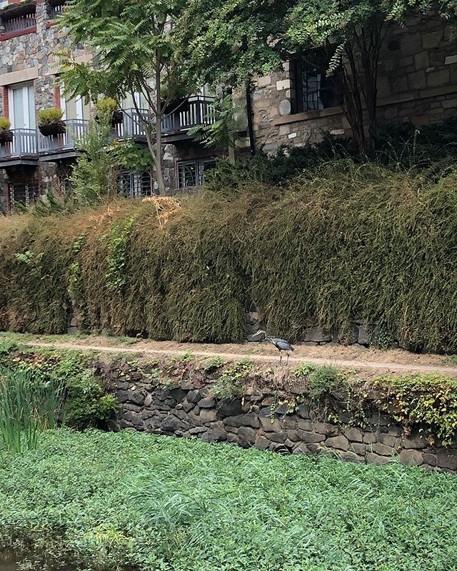 Quiet mornings on the towpath mean wildlife encounters. We spotted our pal the great blue heron hanging out by 33rd St this morning.