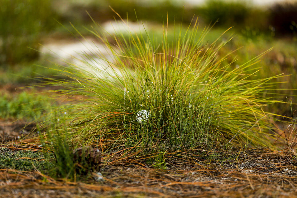 Detail of a ball in a tuft of grass during the first round of stroke play at the 2019 U.S. Amateur at Pinehurst Resort & Country Club (Course No. 2) in Village of Pinehurst, N.C. on Monday, Aug. 12, 2019.  (Copyright USGA/Michael Reaves)