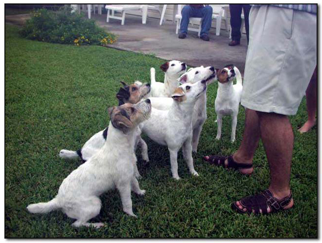 Jack Russell Terriers Pet Dog Artist Photo