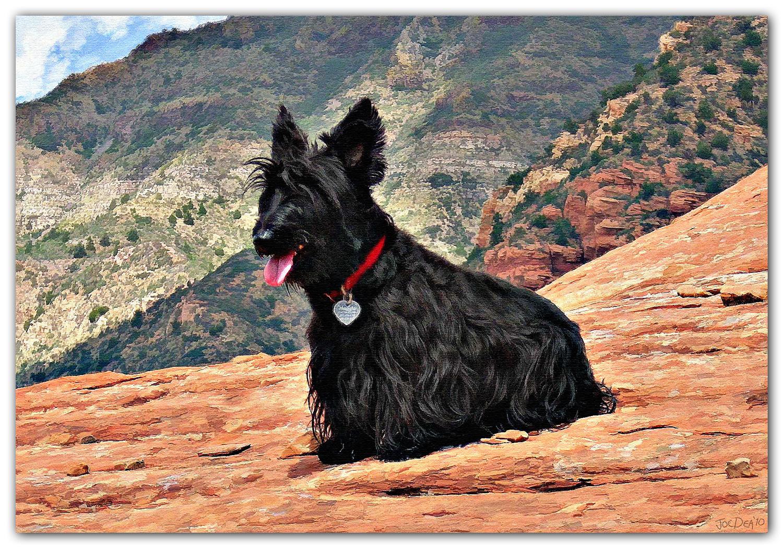 Scottish Terrier Painting