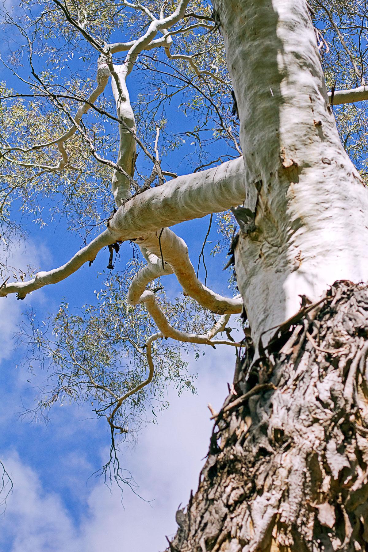 10 flinders tree.jpg
