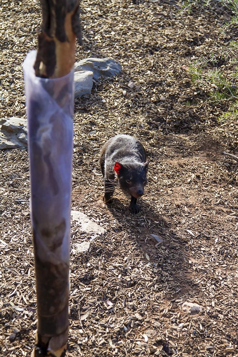 Monarto Zoo Tasmanian Devil