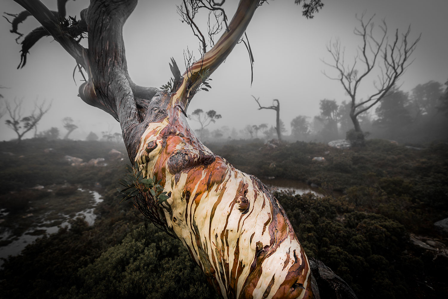 Tree Of Faces - Tarn Shelf - Tasmania - Wilkography