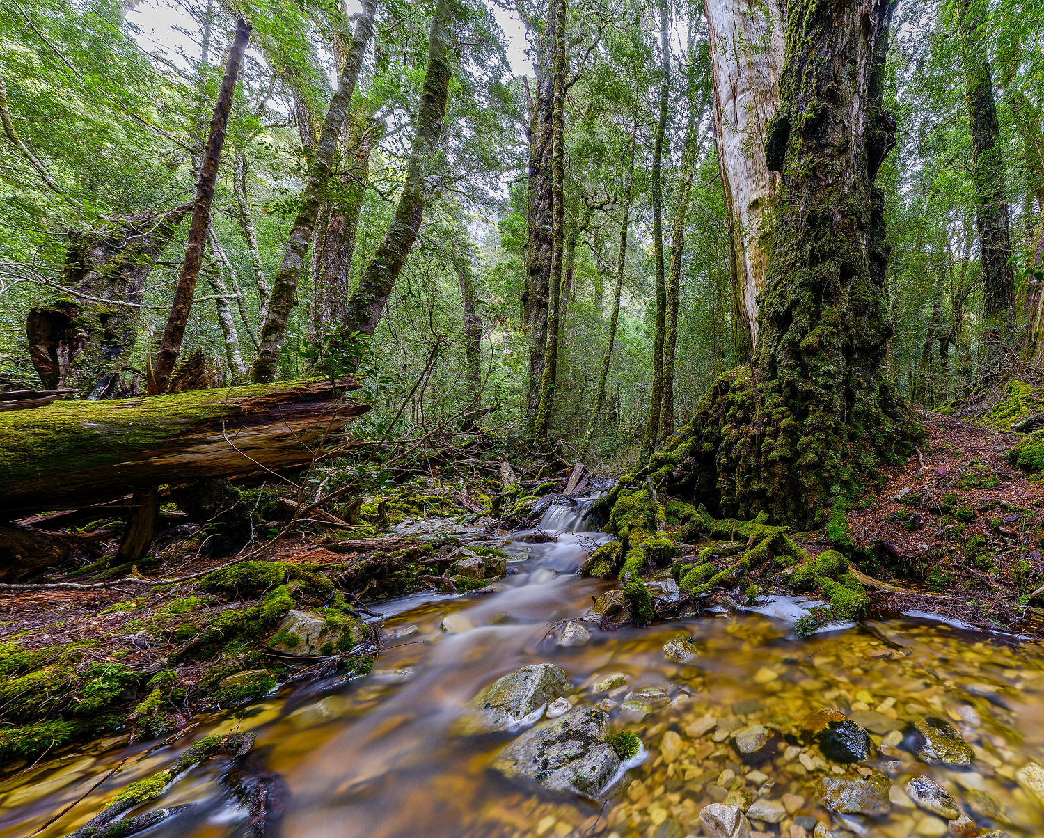 Ballroom Forest - Cradle Mountain - Tasmania - Wilkography