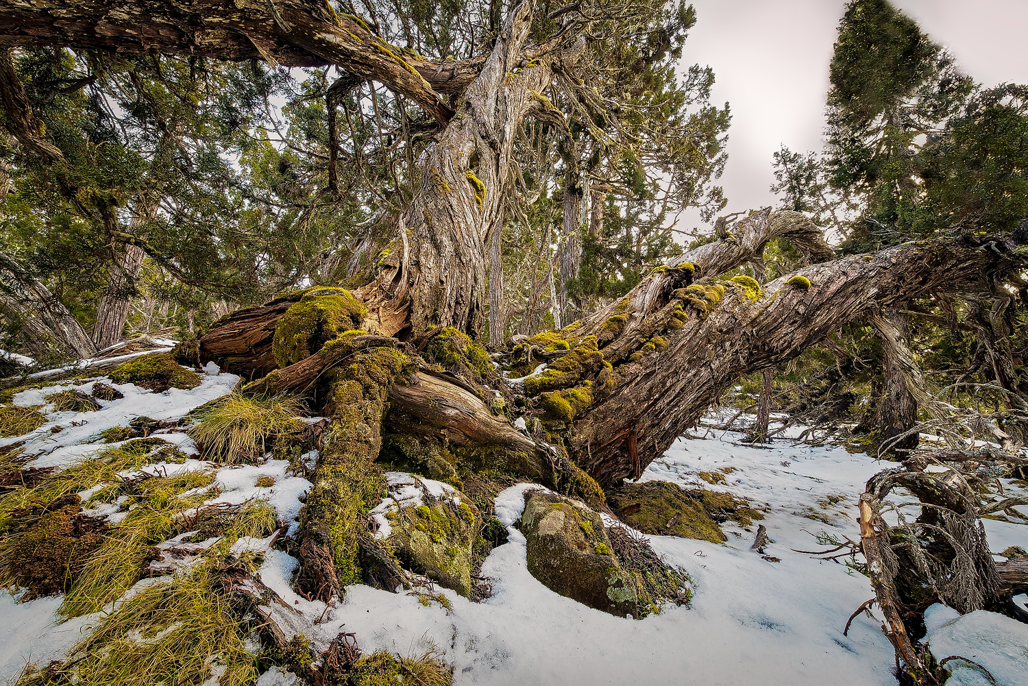 Sam's Tree - Walls Of Jerusalem - Tasmania - Wilkography