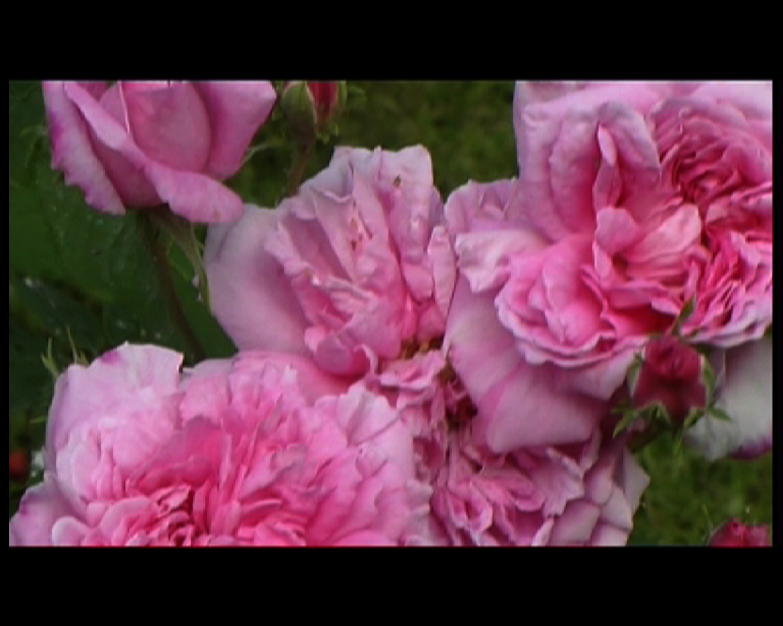 22 Isfahan mon amour-rose.jpg