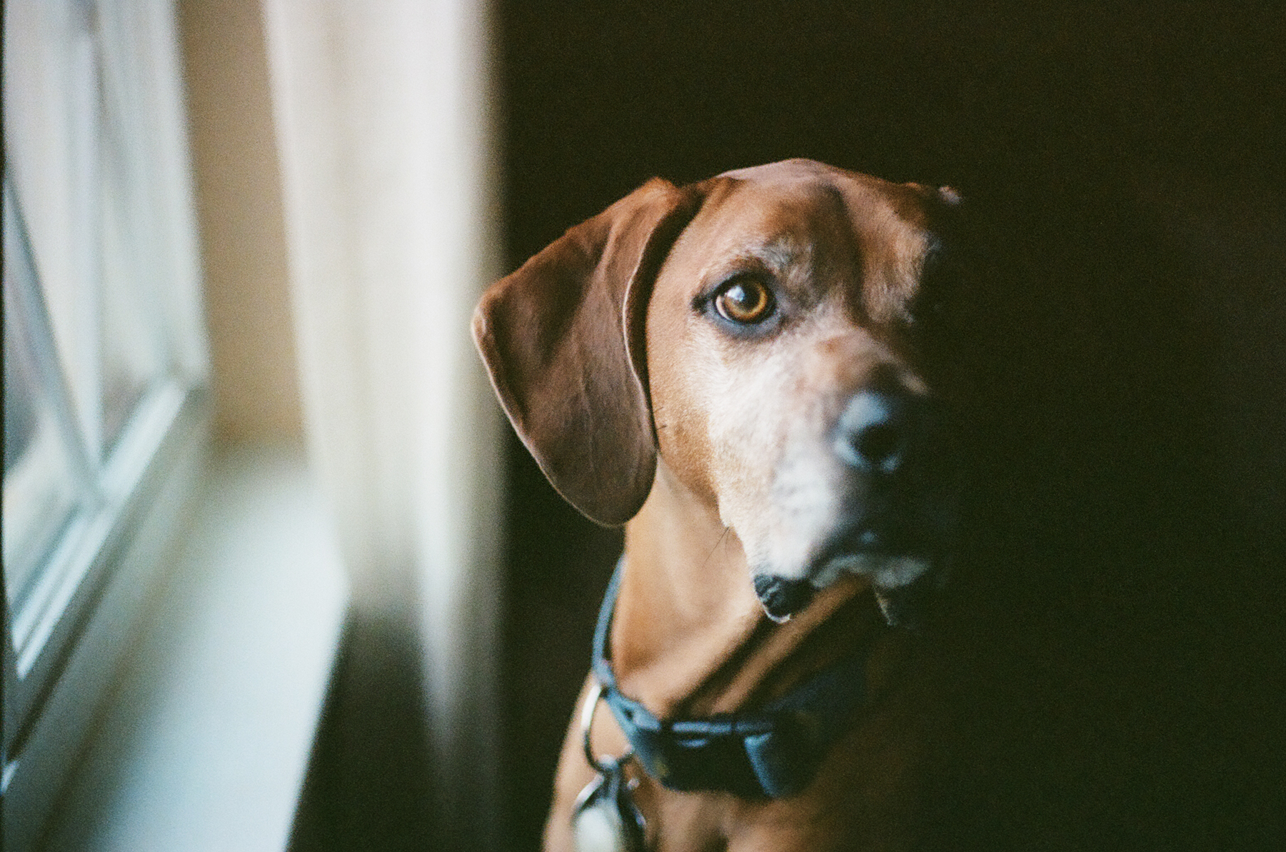 Coonhound-Charlotte-NC