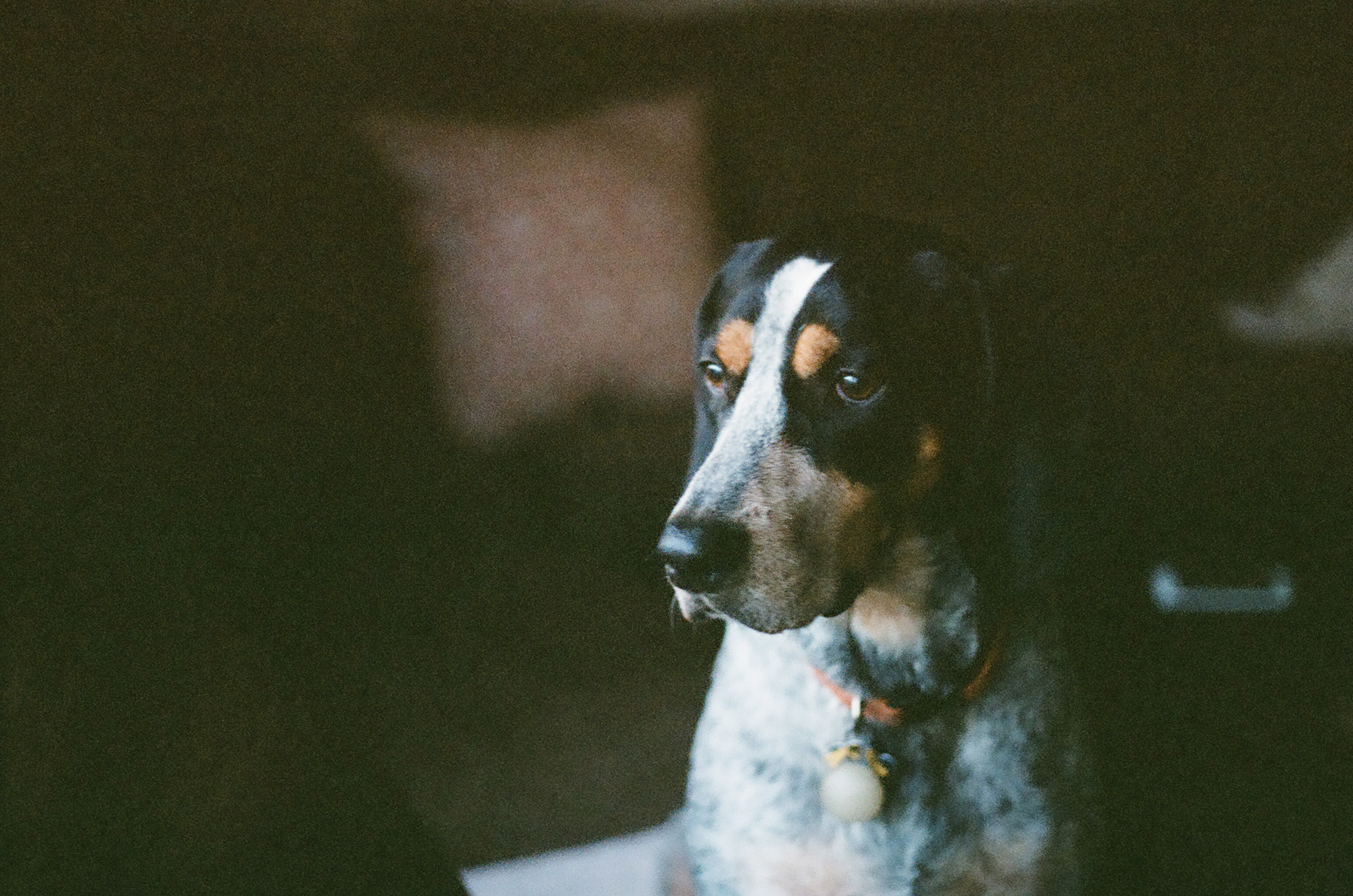 Charlotte-NC-Coonhound
