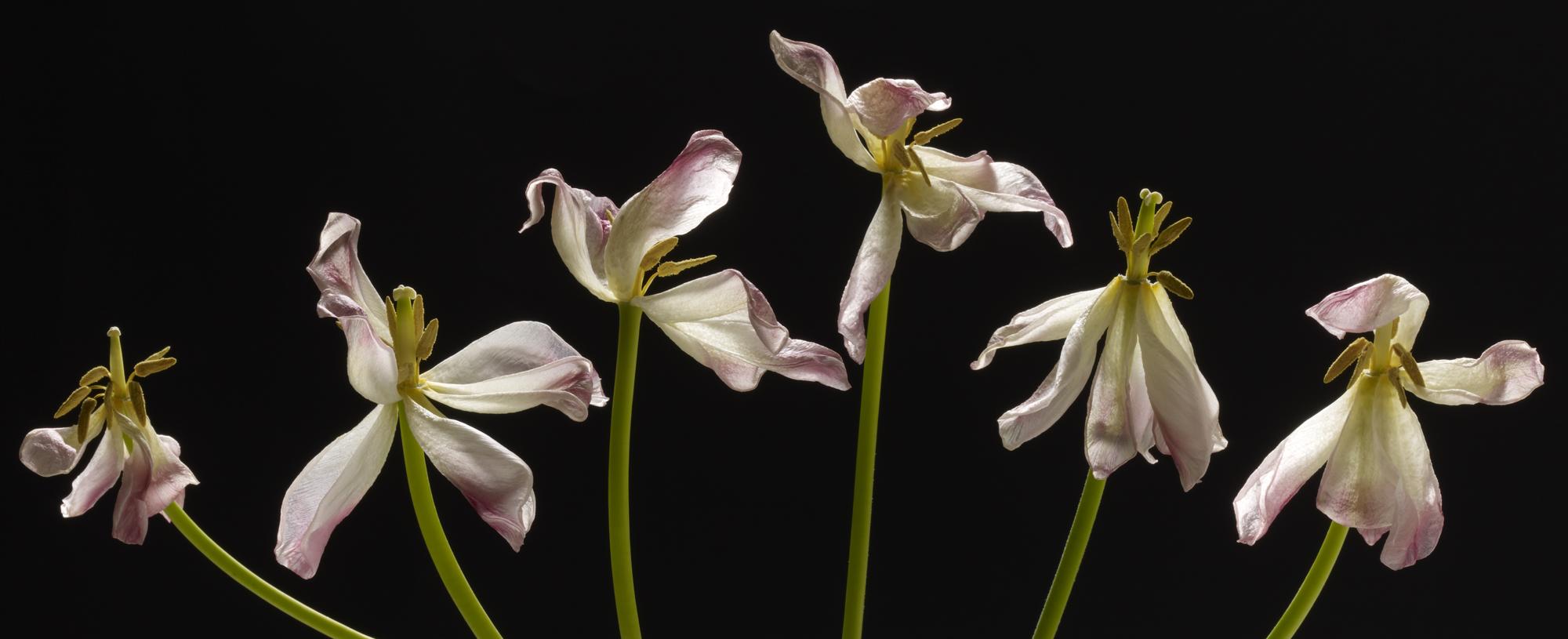 Six fading tulips