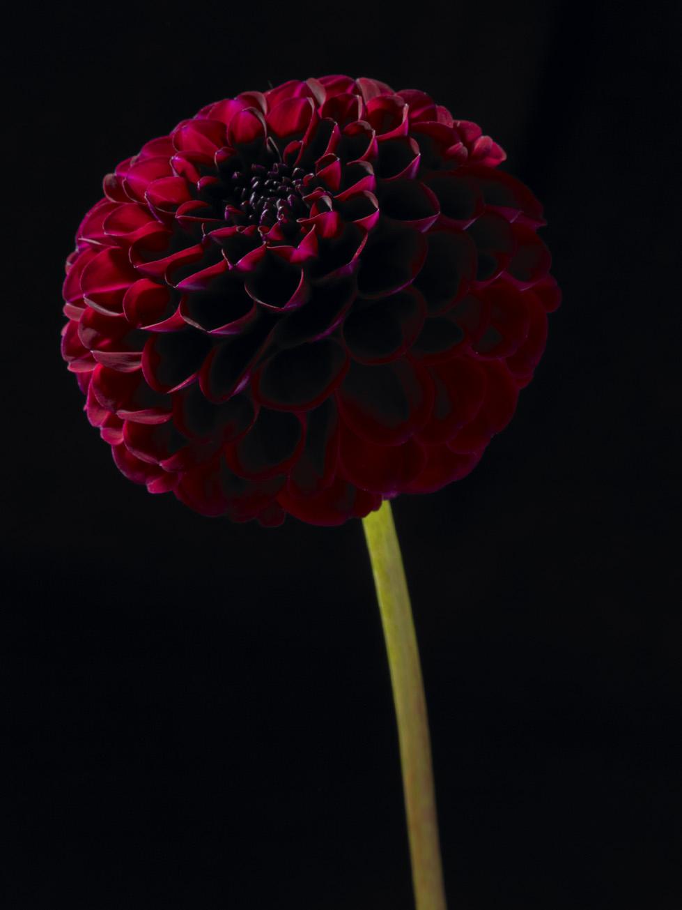 Crimson Pompon dahlia