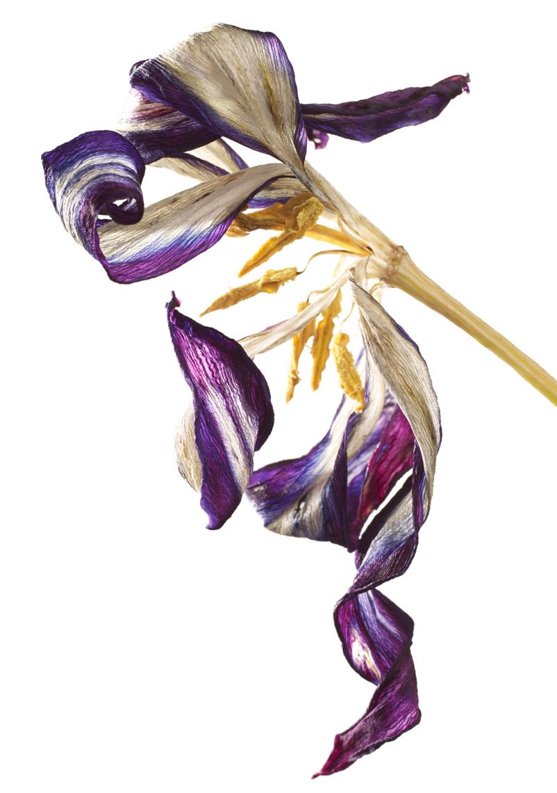 Dying Burgundy tulip