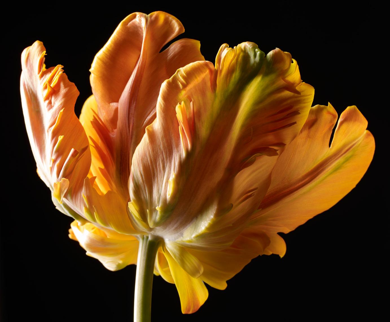 Parrot tulip Irene