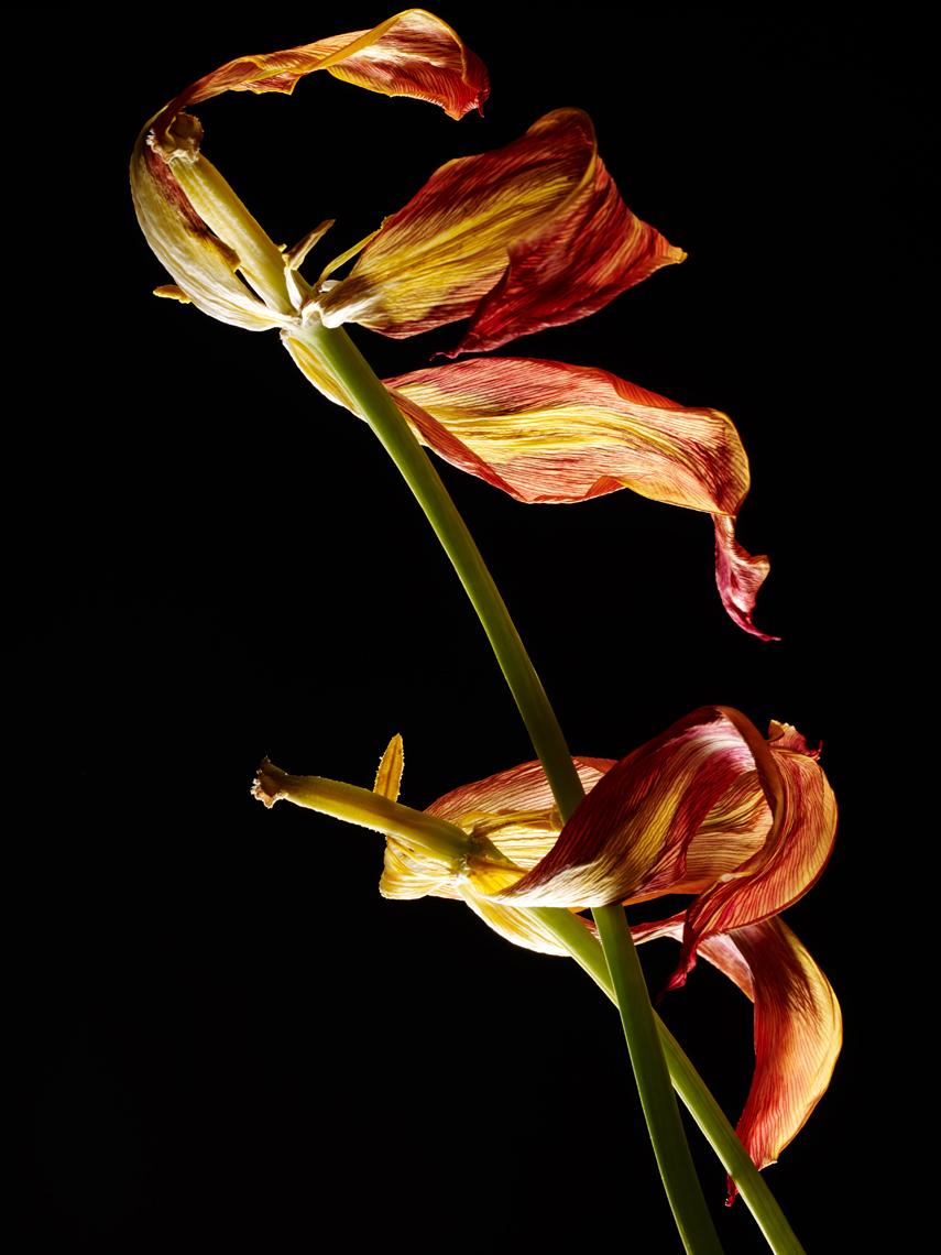 Two Ballerina tulips on black