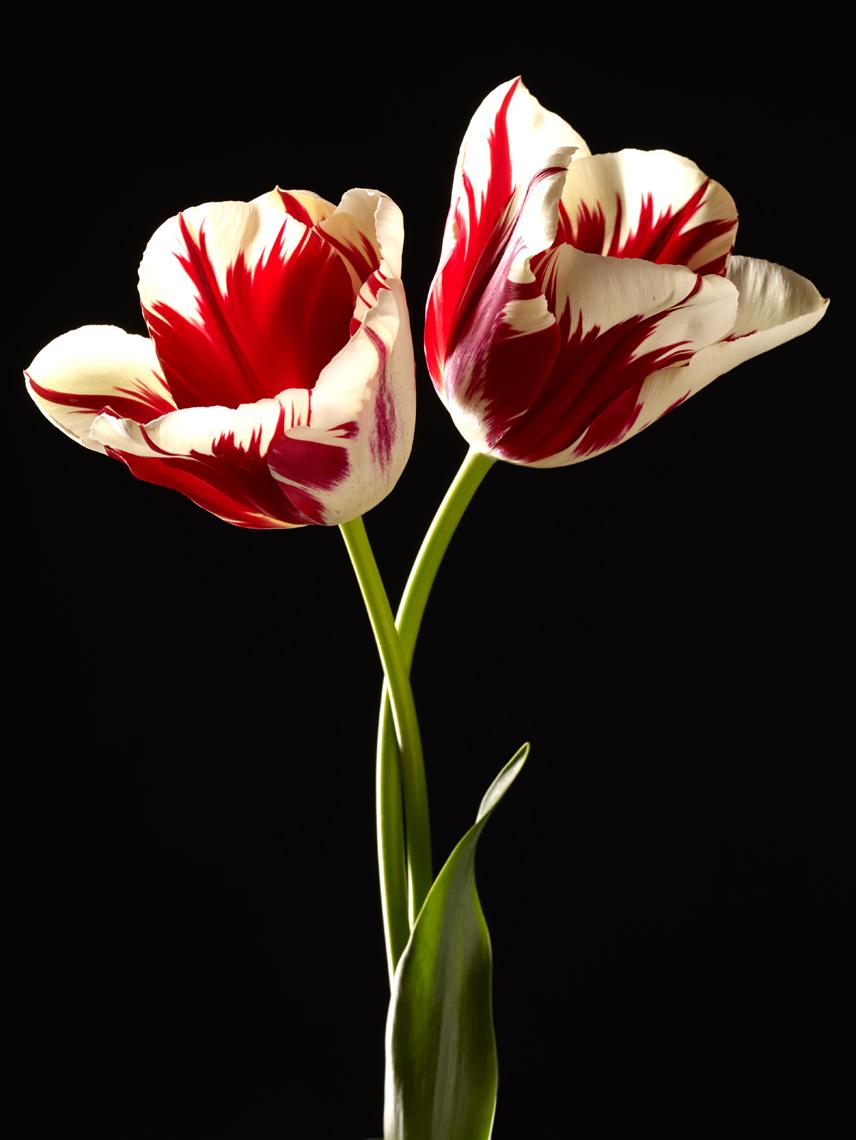 Two Zurel tulips on black