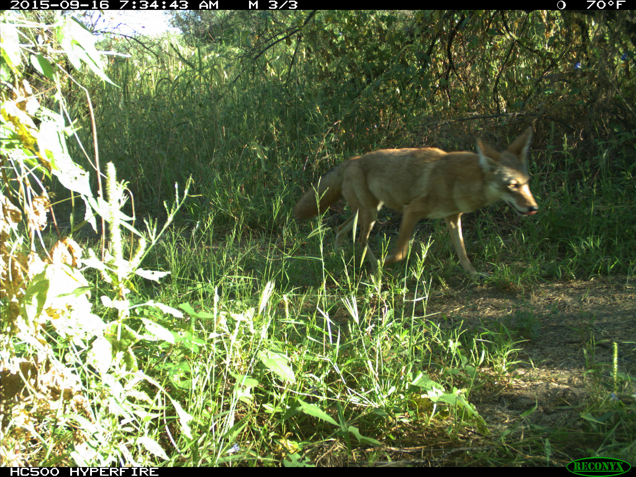 And...Another coyote, who appears to like mornings! Welcome!