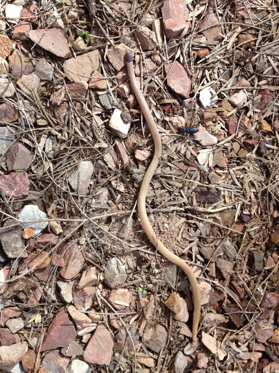 Blind Snake... so small. Look at the beetle beside it, and the scorpion!