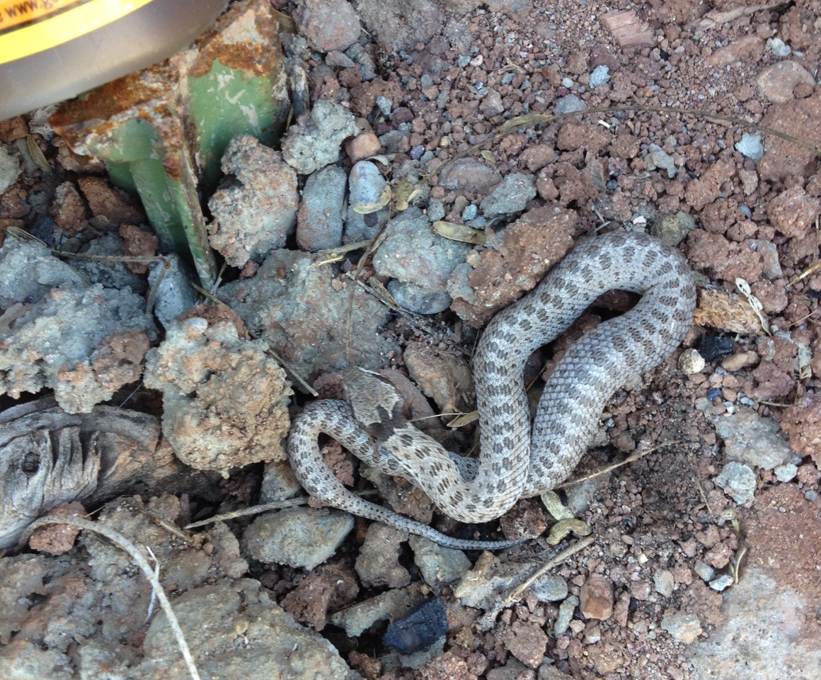 Night Snake, a rear fanged snake with mild venom.  Also small; it's next to a T post.
