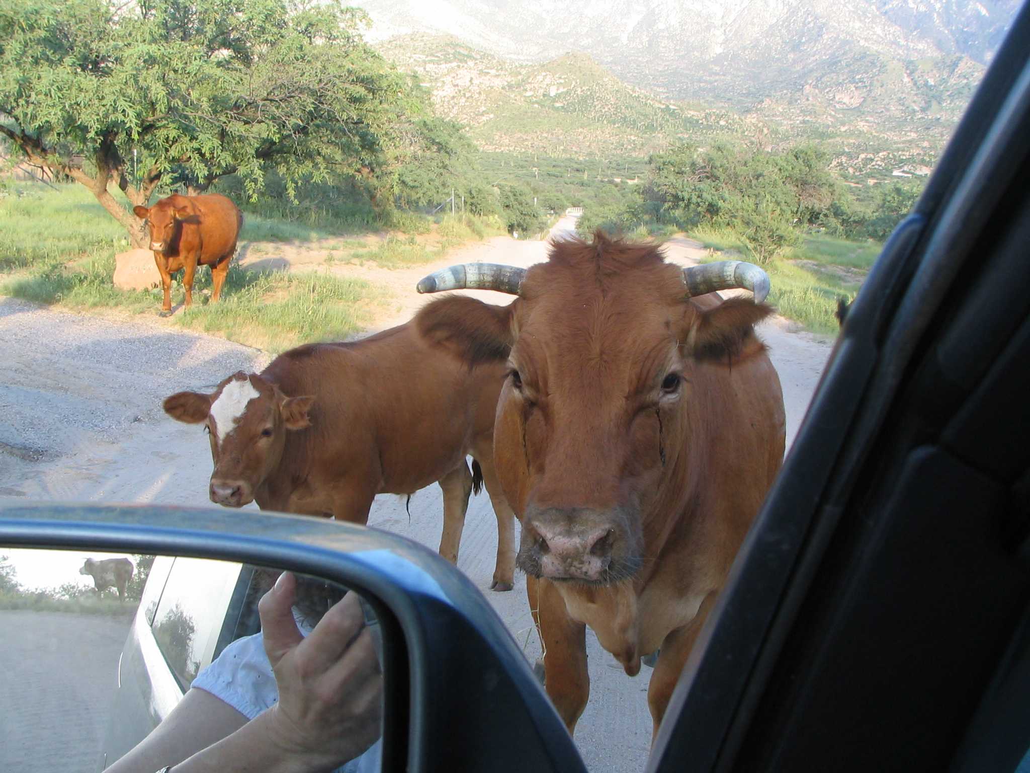 August Cows 2005