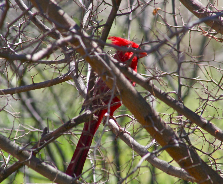 Cardinal hanging around.
