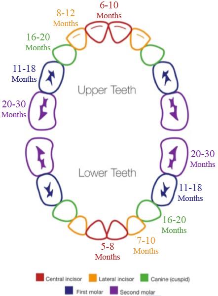 Rainbow Tooth Eruption Chart.jpg