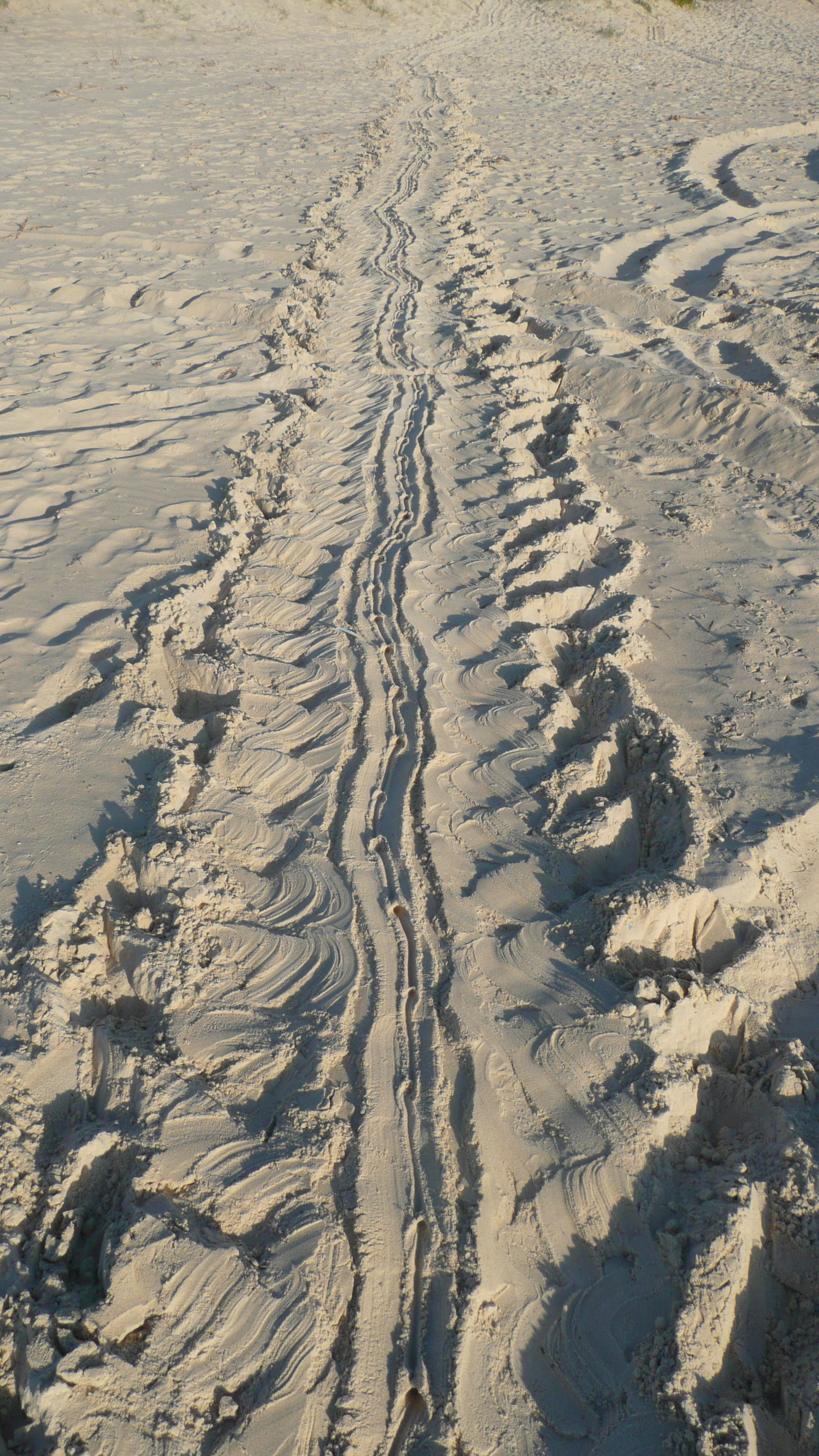 Turtle tracks to the ocean after egg-laying