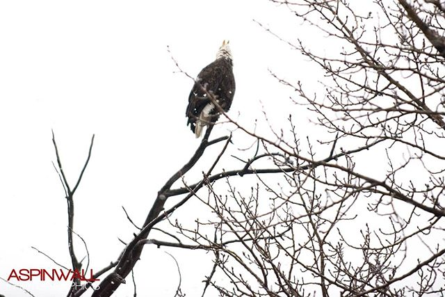 Caught this bird while loading the tour bus this snowy morning! I love the West coast!  #patriotism #nikon #dceventphotographer #aspinwallphoto #baldeagle #screamingeagle