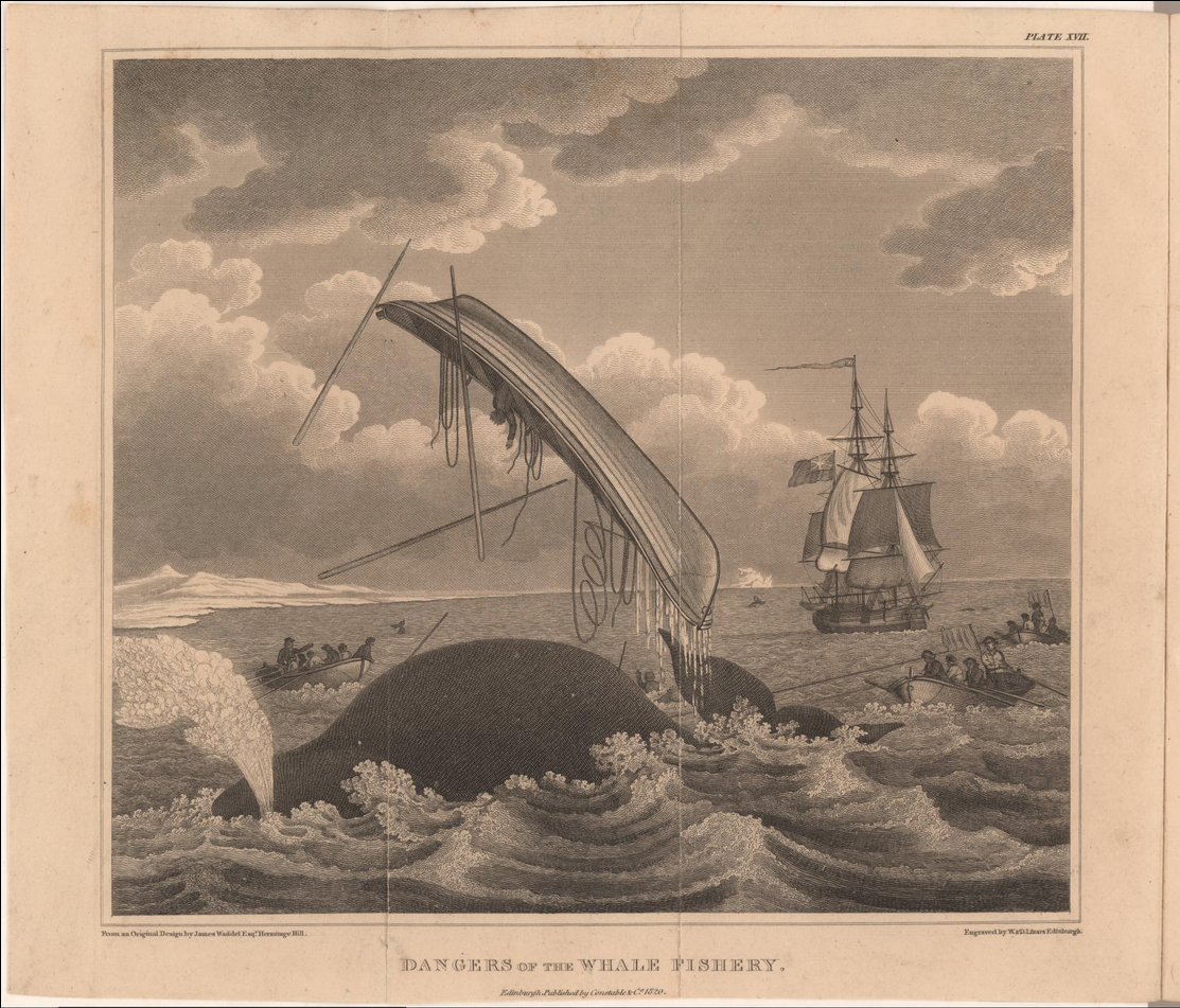 From an account of whaling in the Arctic regions, a whale breaches the water and throws a boat.  Image date: 1820.