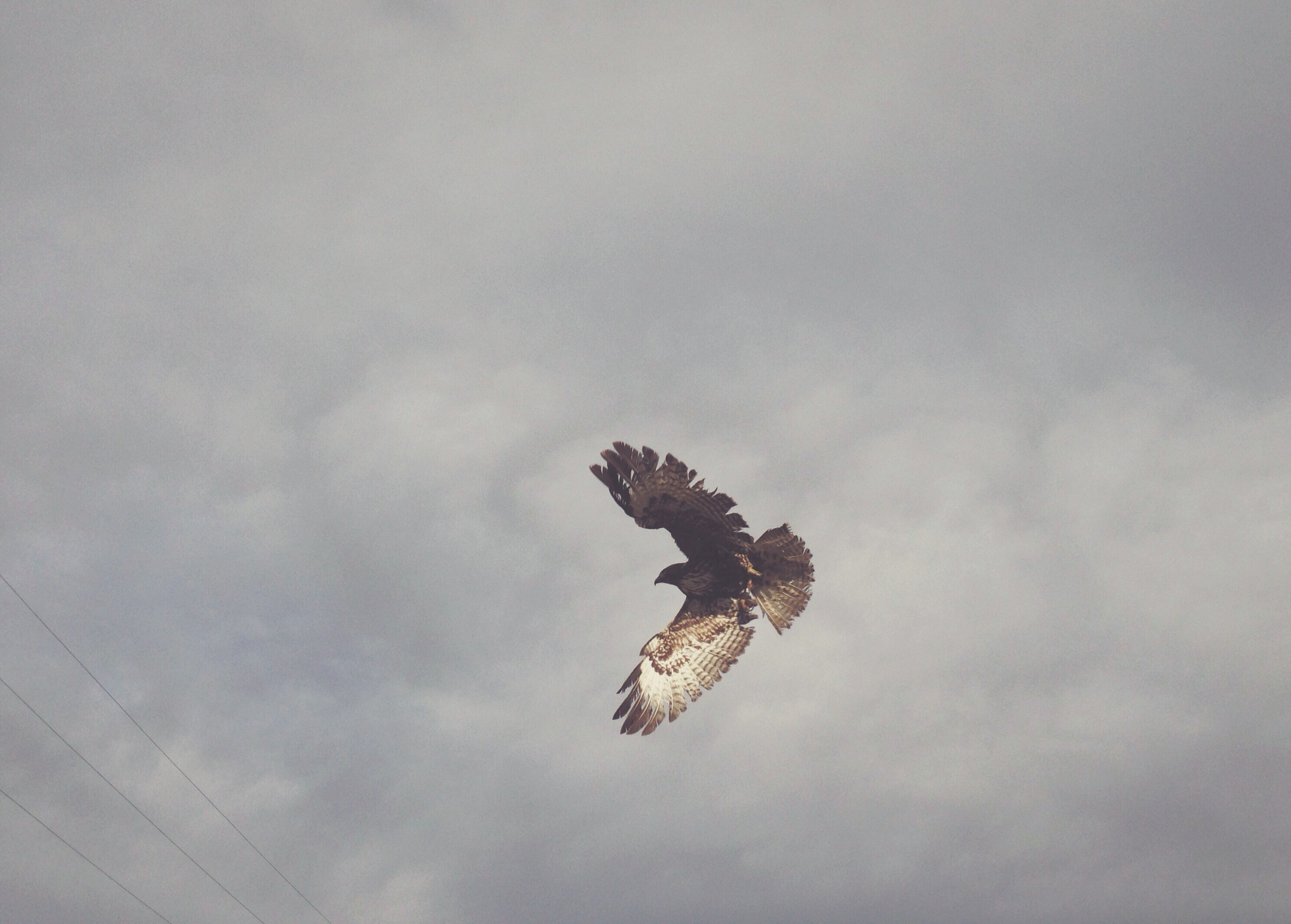 Red-Tailed-Hawk-Flying-iphone-web.jpg