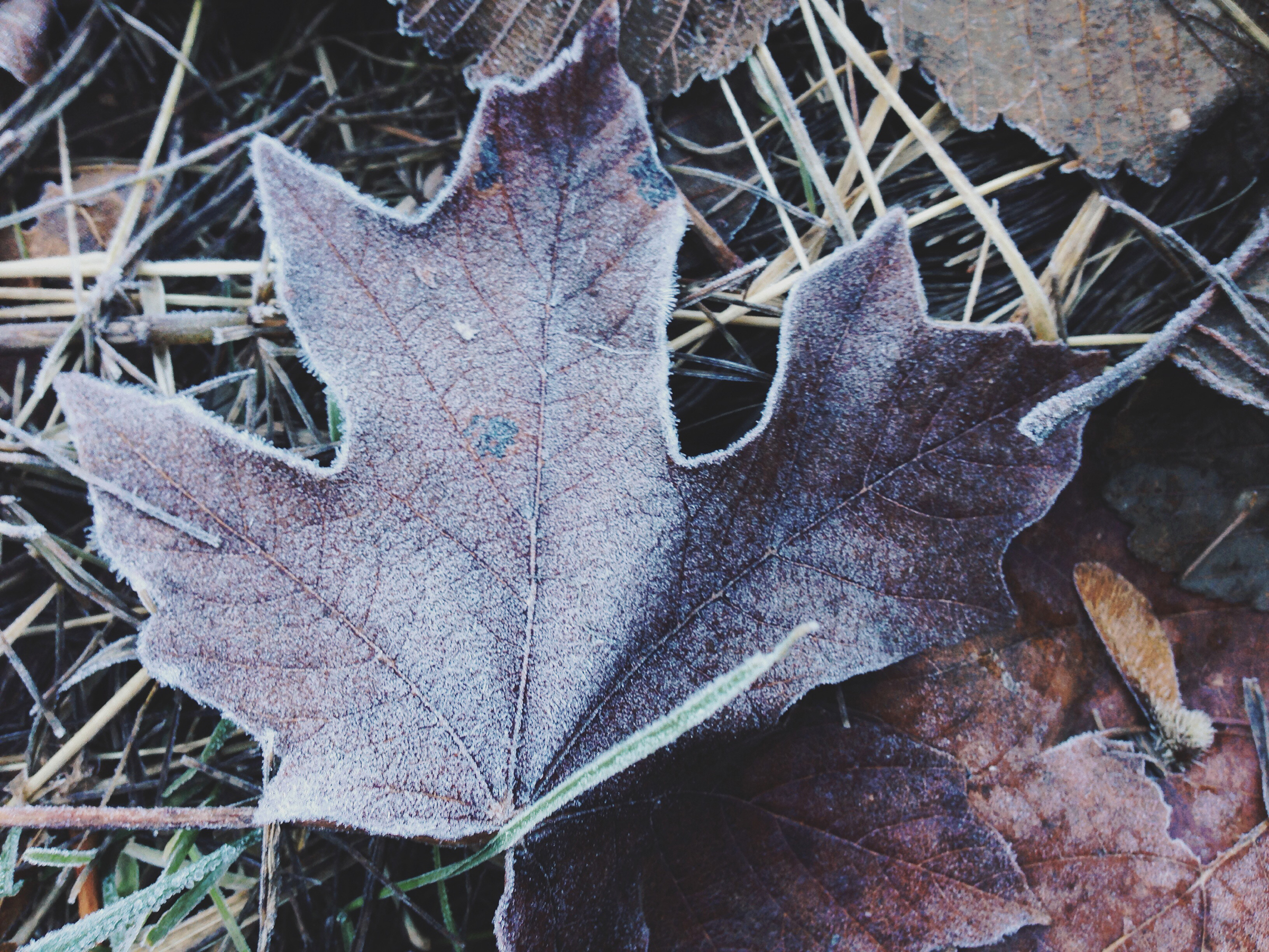 Frosty Leaf iphone for web.jpg