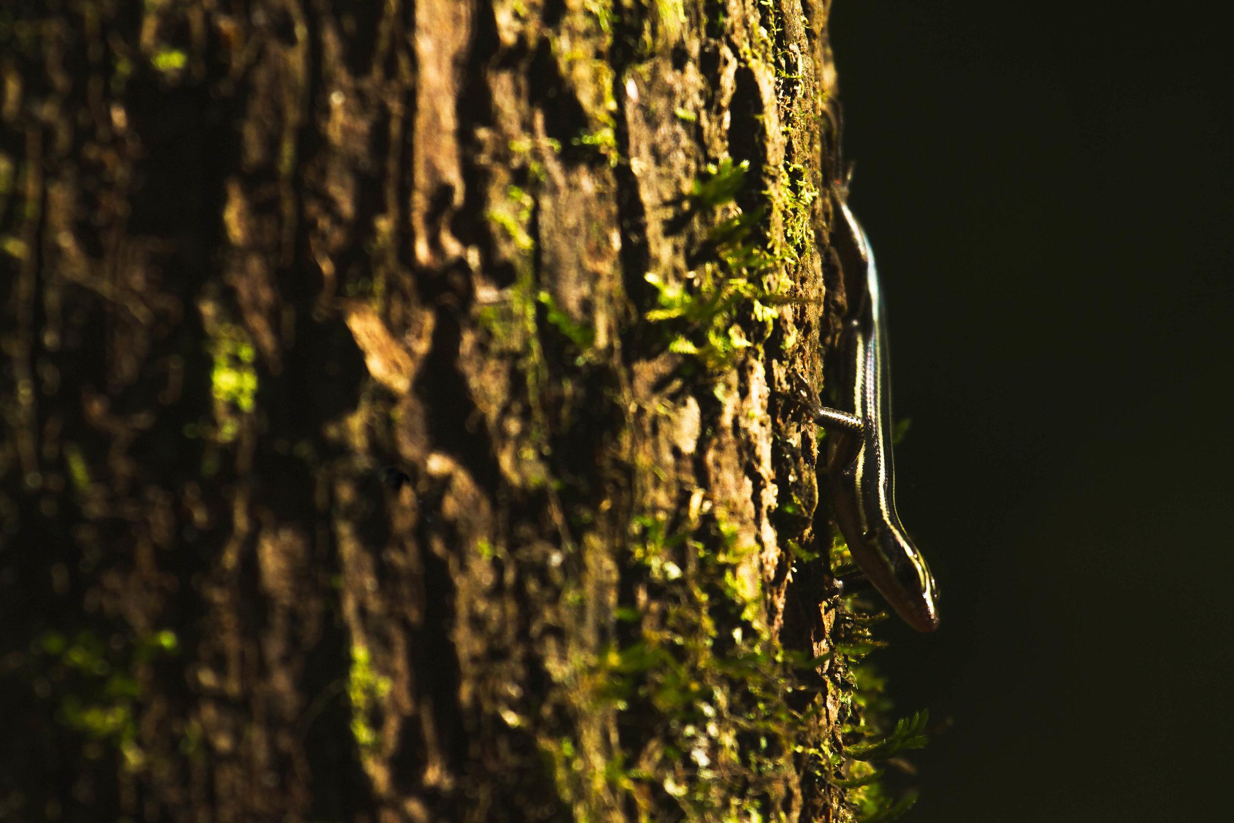 SKINK_ON_TREE.jpg